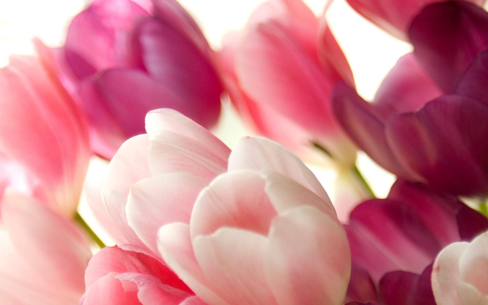 Tulip Wallpapers ·① WallpaperTag