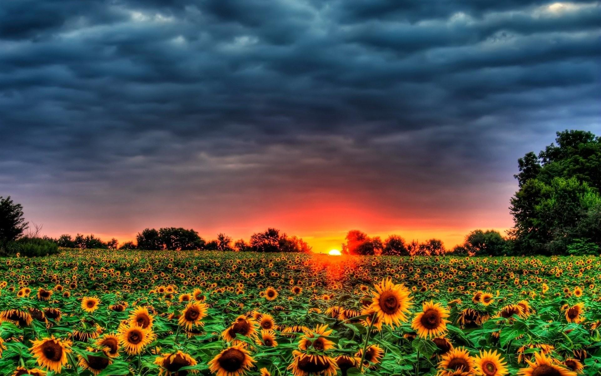 1920x1200 Field Of Sunflowers 880427