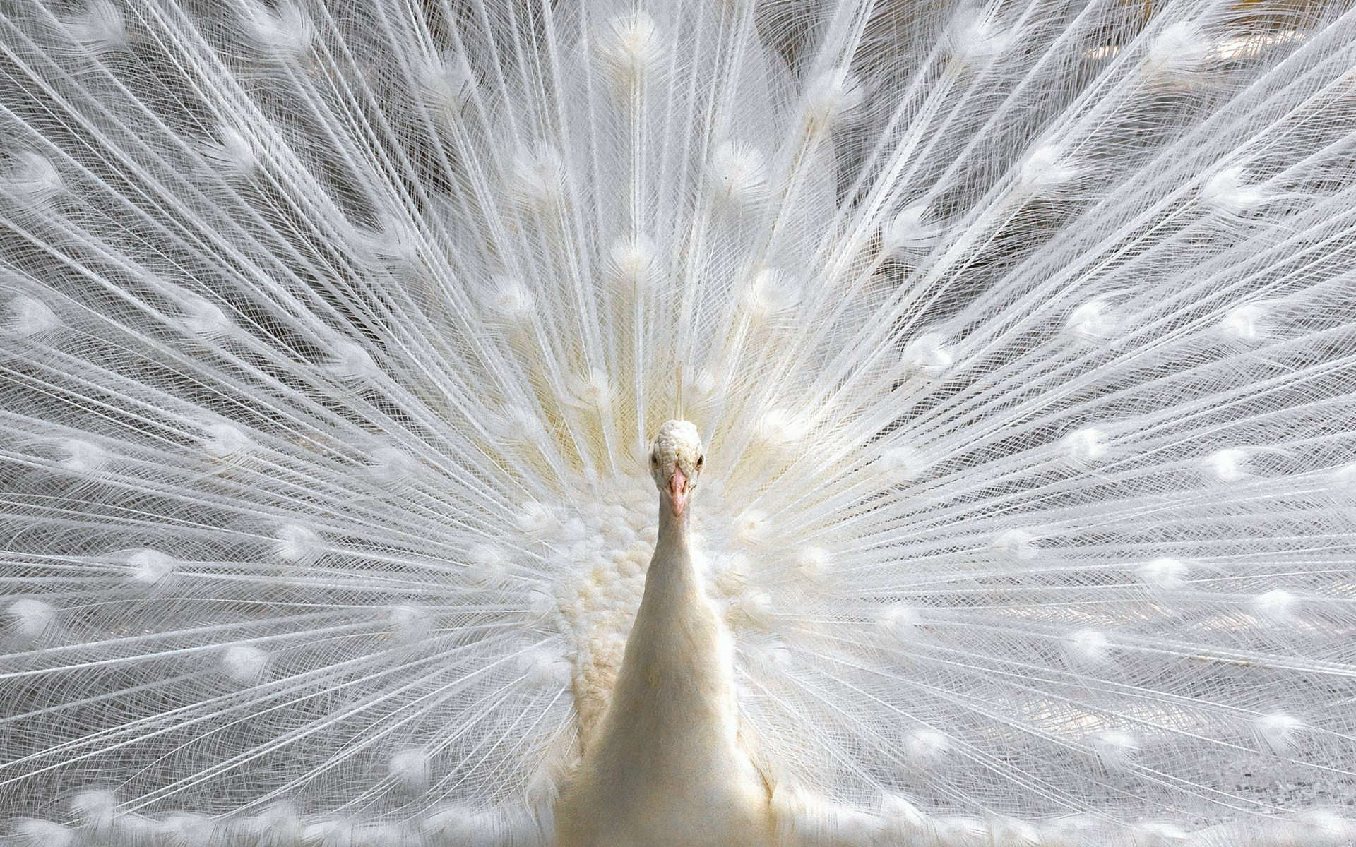 This image has an empty alt attribute; its file name is 639848-free-wallpapers-of-peacock-feathers-hd-2018-1920x1200.jpg