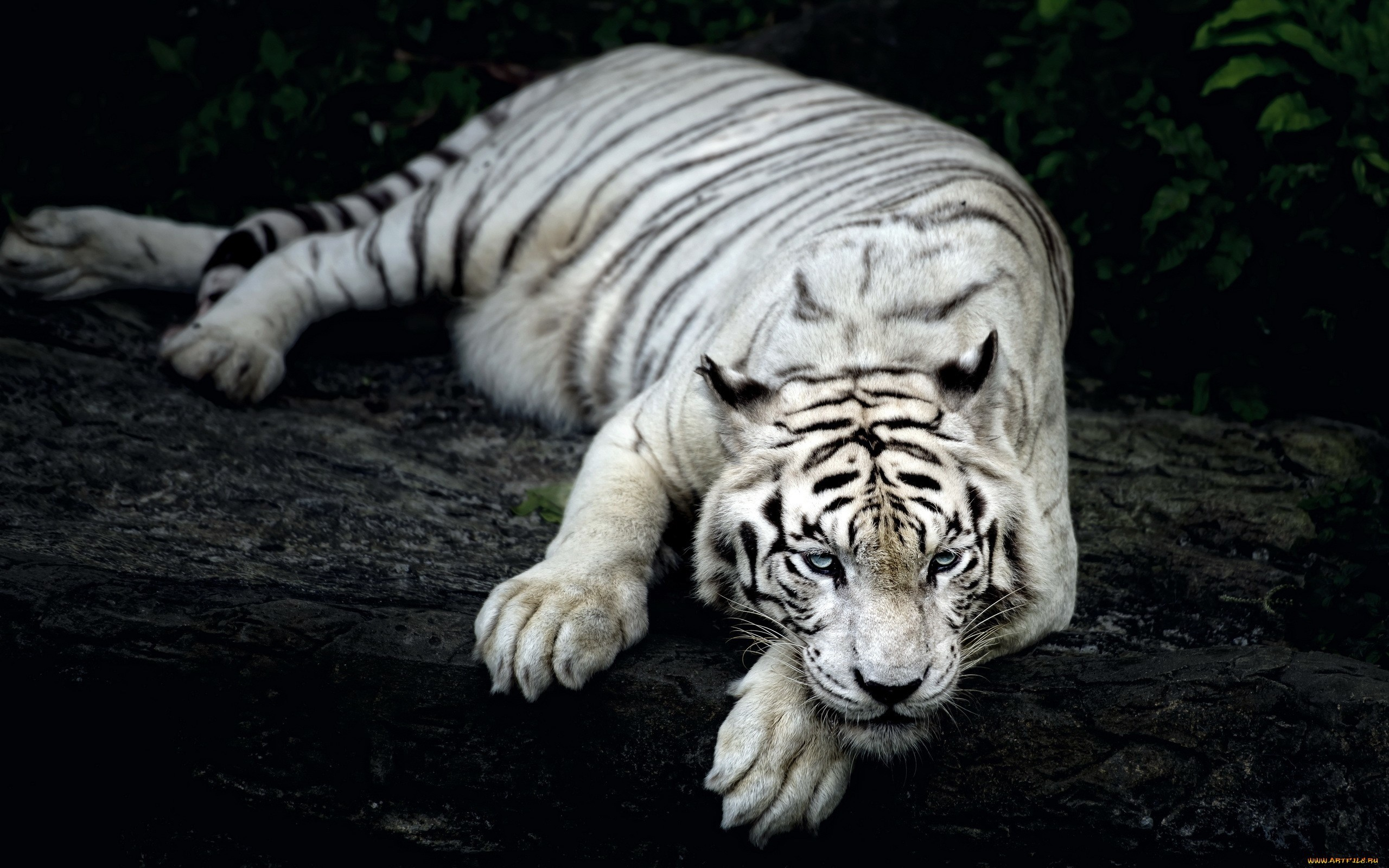 White Siberian Tiger Wallpaper Wallpapertag