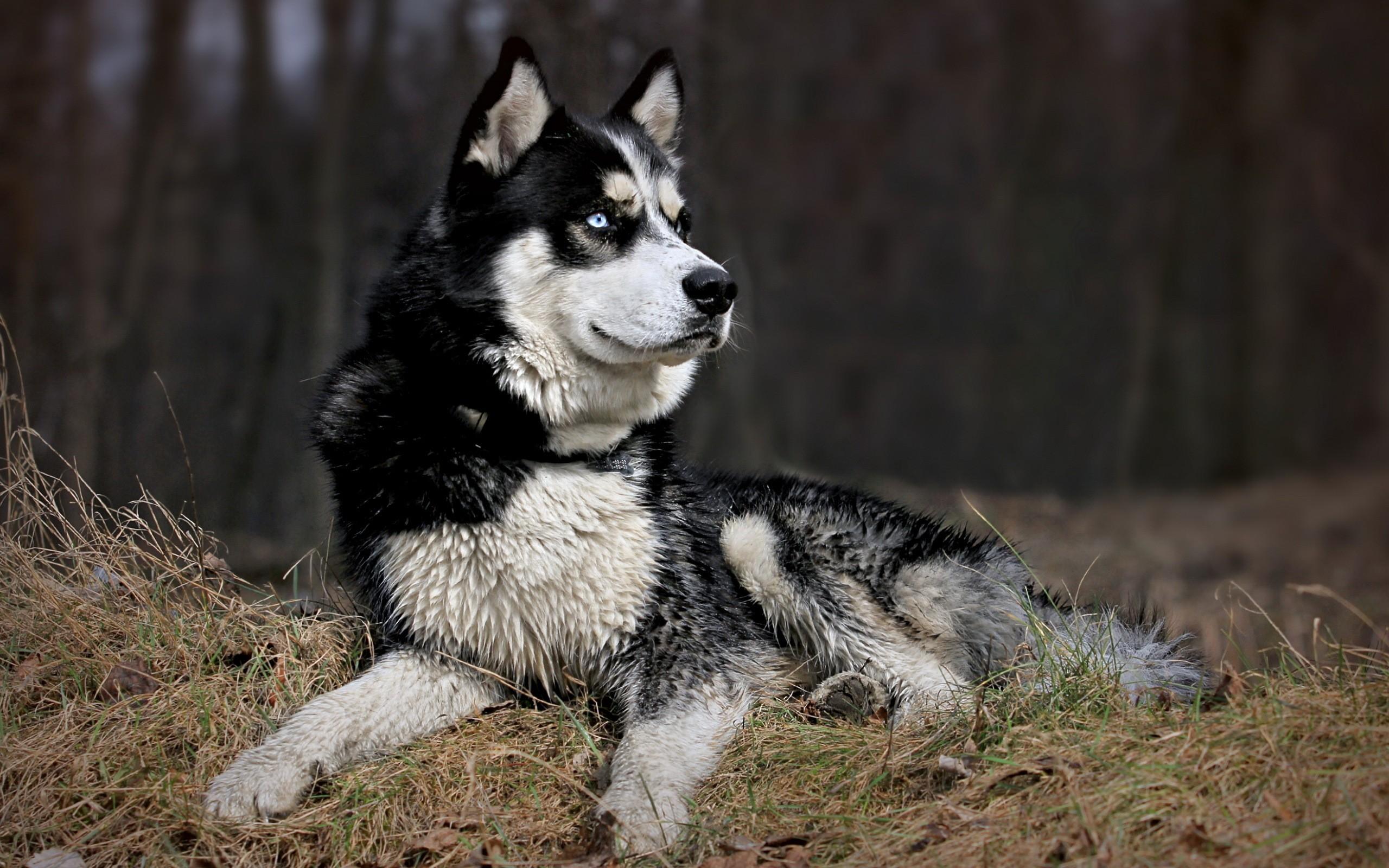 природа животное собака морда хаски  № 3886582 бесплатно