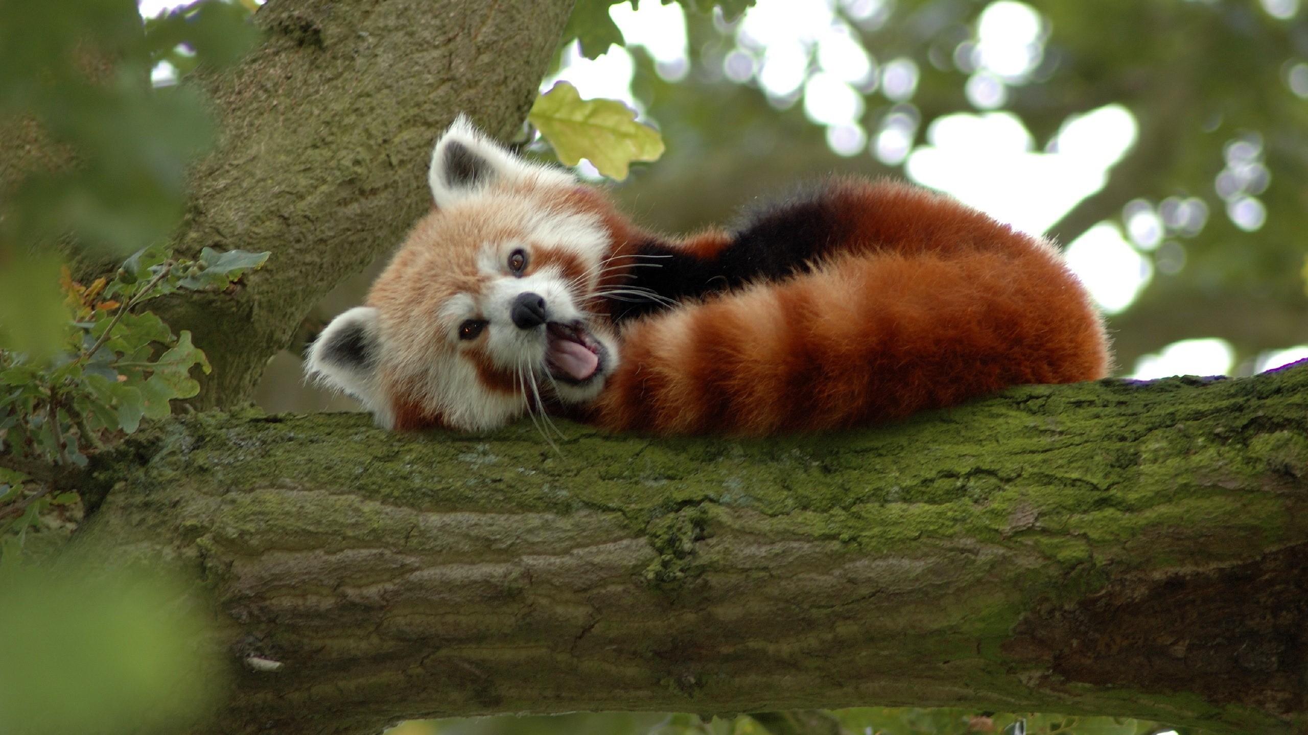 Red Panda  № 1564072 бесплатно
