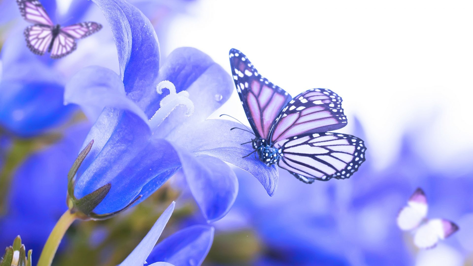 1920x1080 Blue Beautiful Butterflies Nature Simply Flowers Butterfly Flower Wallpaper And Backgrounds