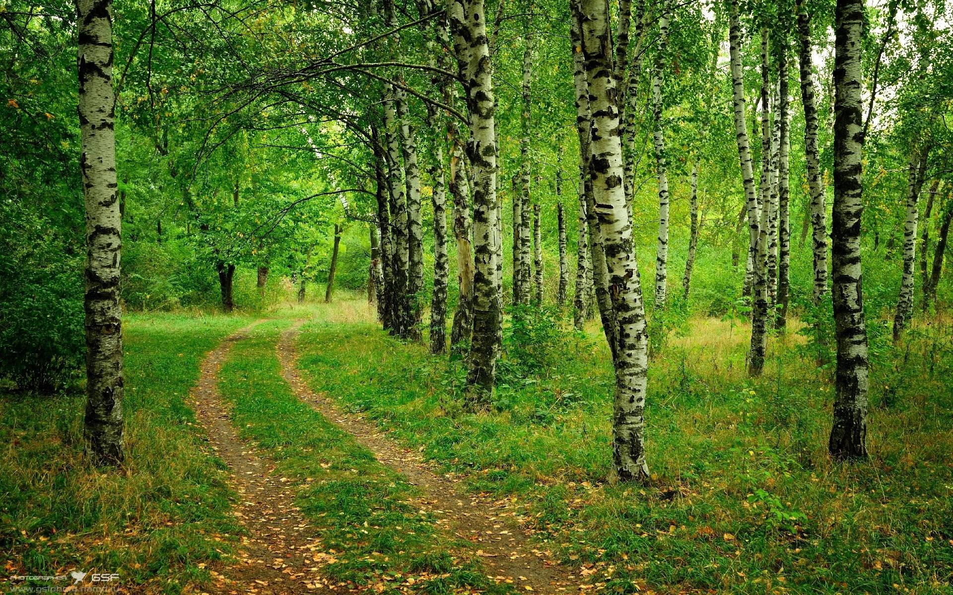 Birch Tree Wallpaper ·① Download Free Awesome HD