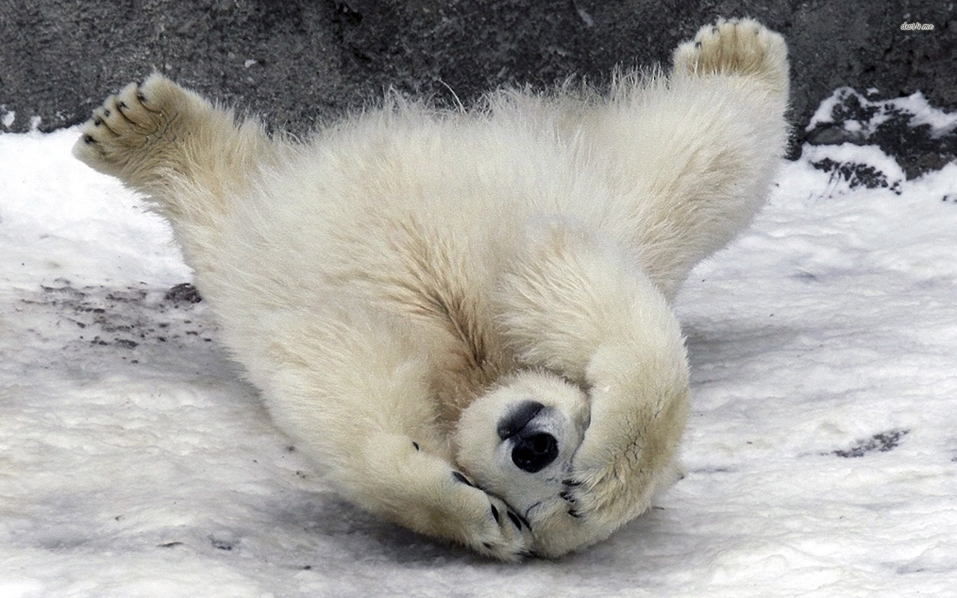 Baby Polar Bear Wallpaper ·① WallpaperTag