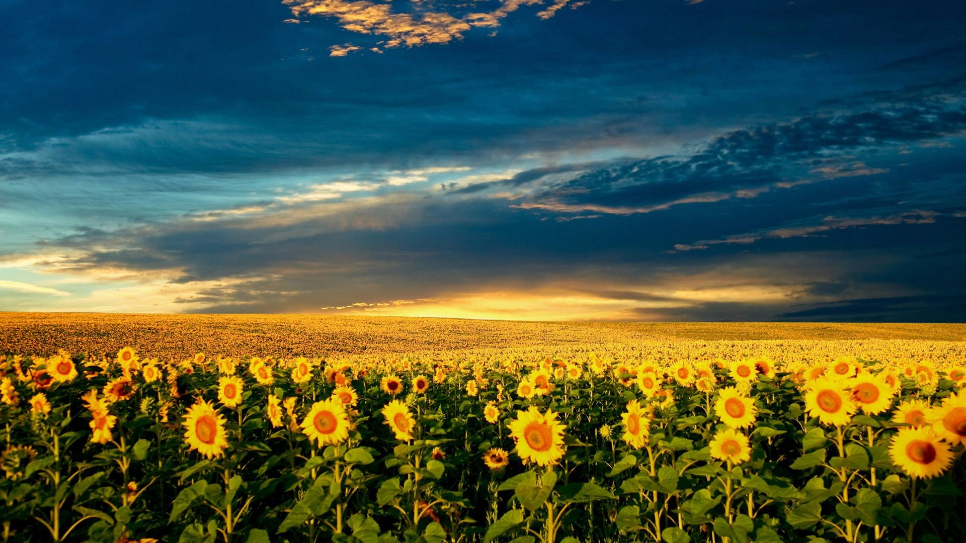Free Wallpaper For Your Desktop And Ipad: Sunflower Wallpaper ·① Download Free Stunning HD