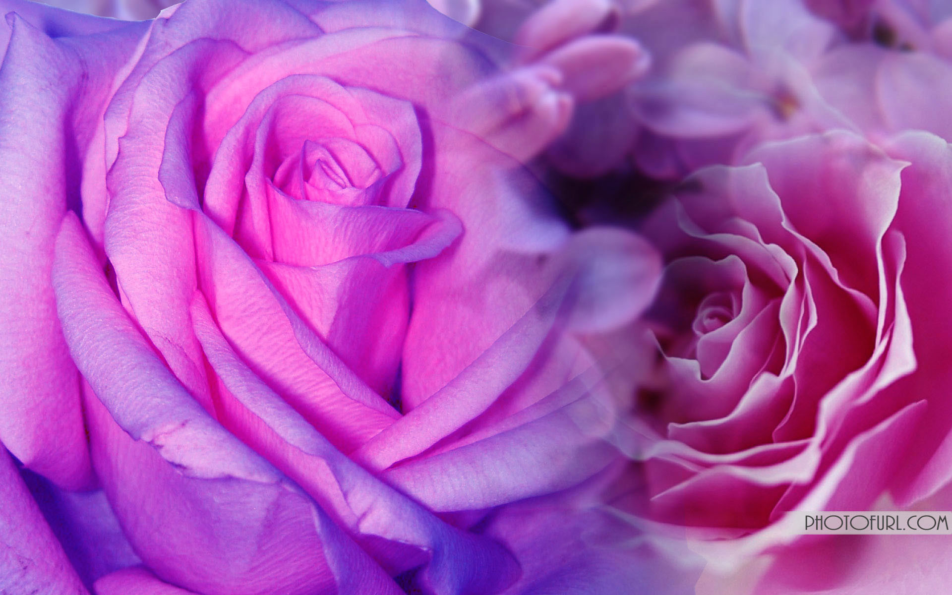 Purple Roses Background Images: Pink And Purple Background ·① WallpaperTag