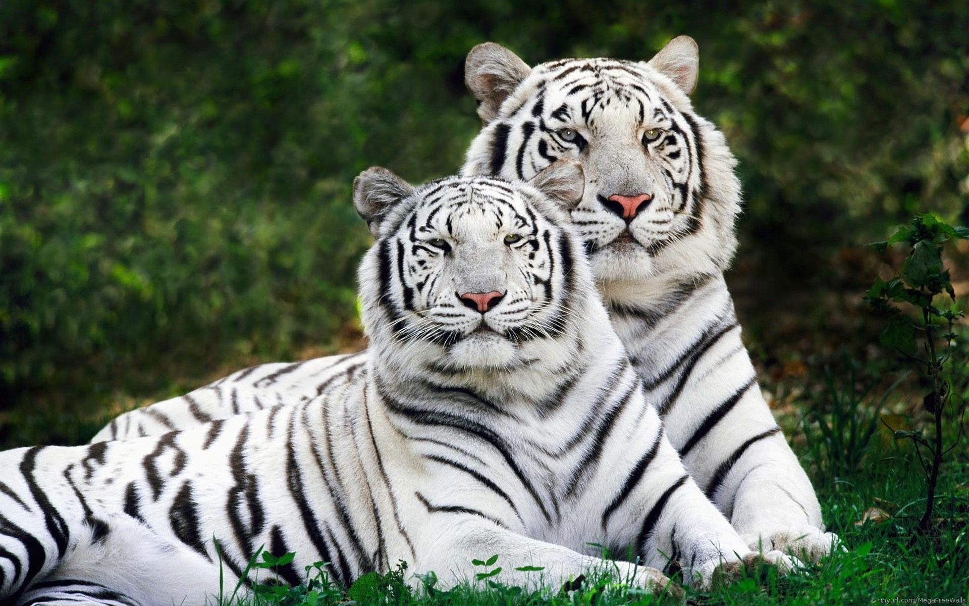 white tiger wallpaper ·① download free cool high resolution