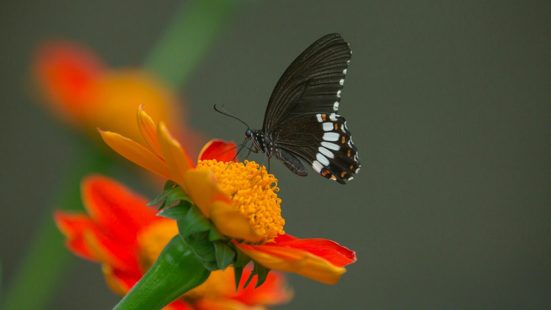 Black Butterfly Wallpaper ·①