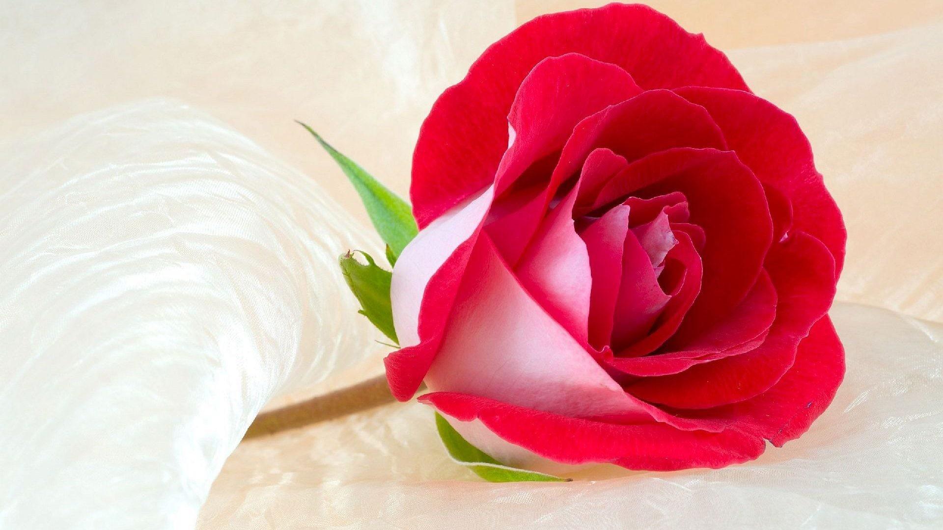 Beautiful Roses Wallpapers Wallpapertag
