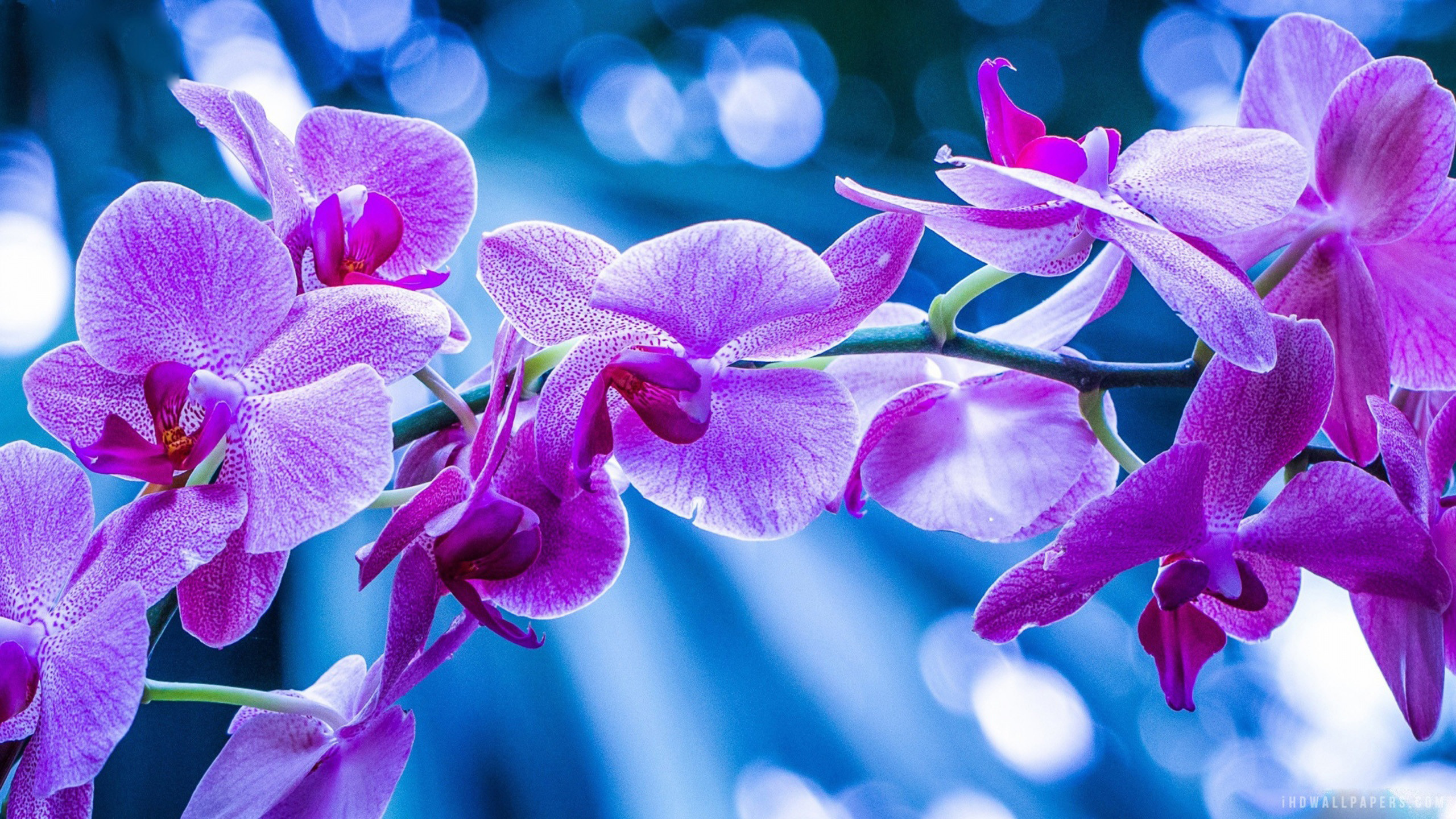 Purple Orchid Wallpaper 1