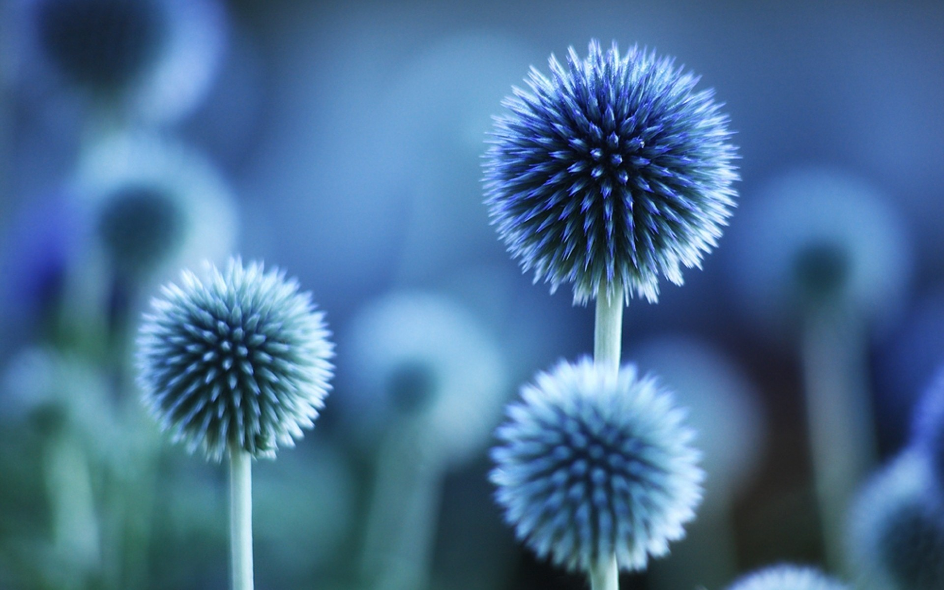blue flowers wallpaper ·①