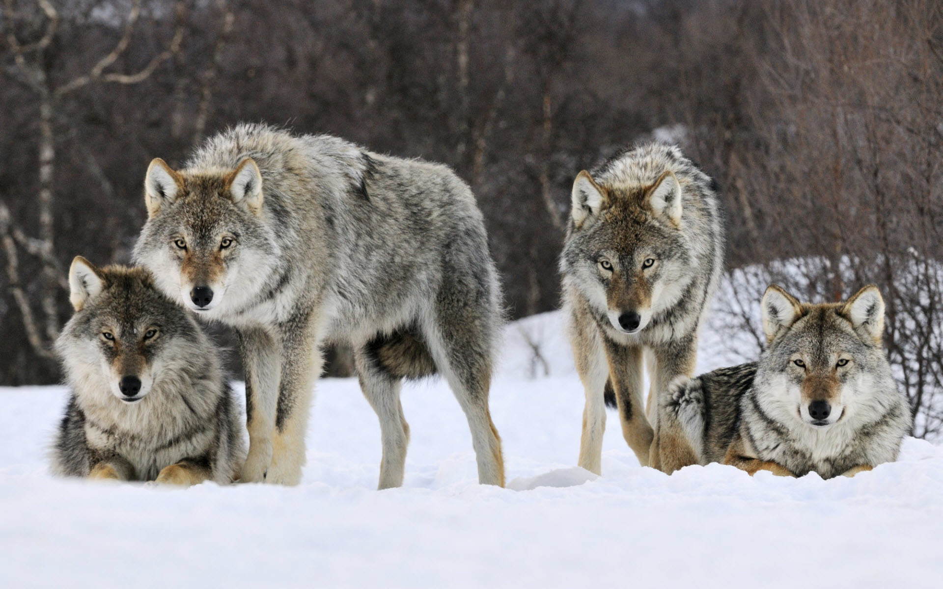Beautiful Gray Wolf Wallpaper Android - 938089-free-download-gray-wolf-wallpaper-1920x1200-for-phones  Best Photo Reference_668062.jpg