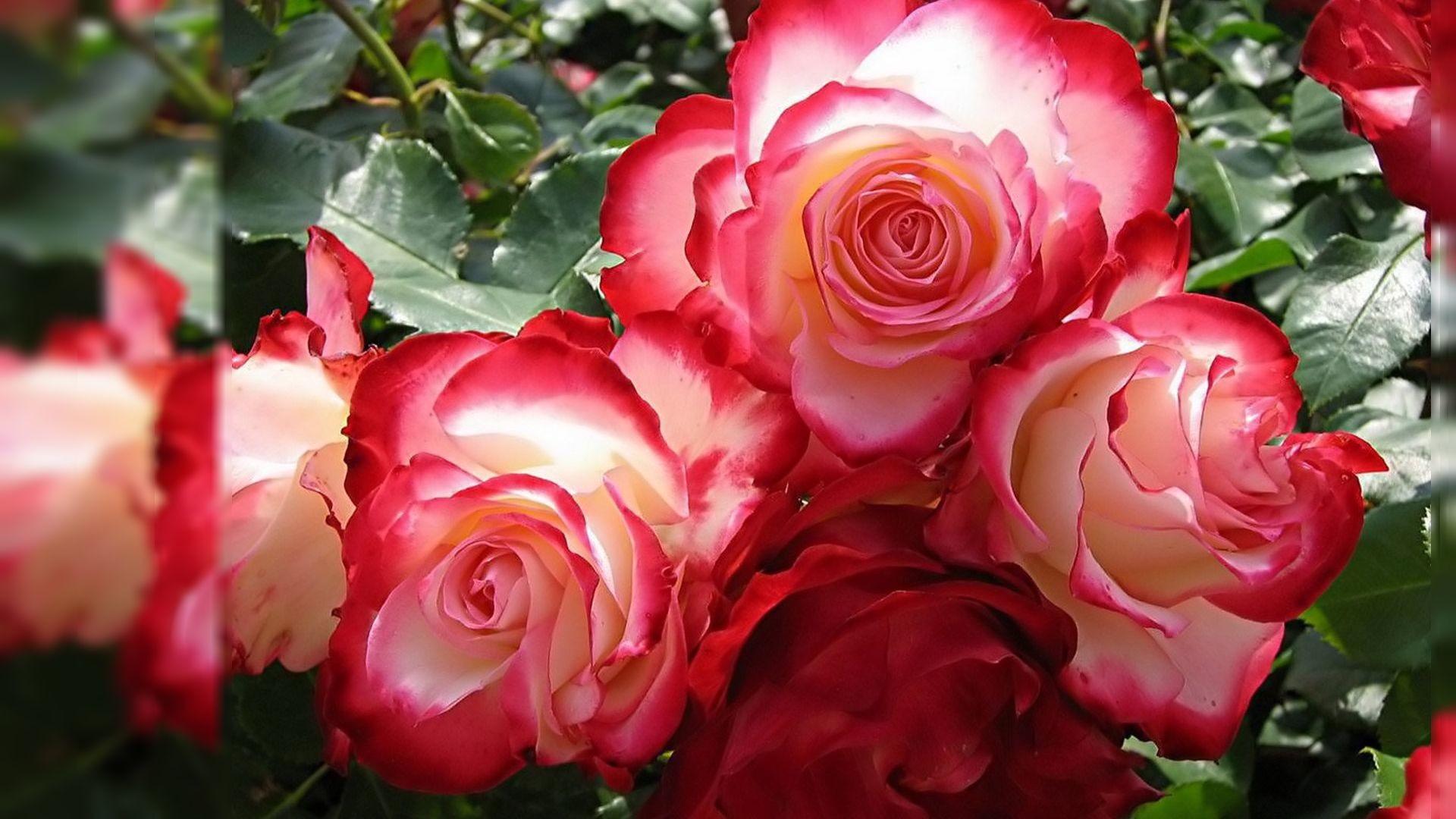 Roses Wallpaper For Desktop Wallpapertag