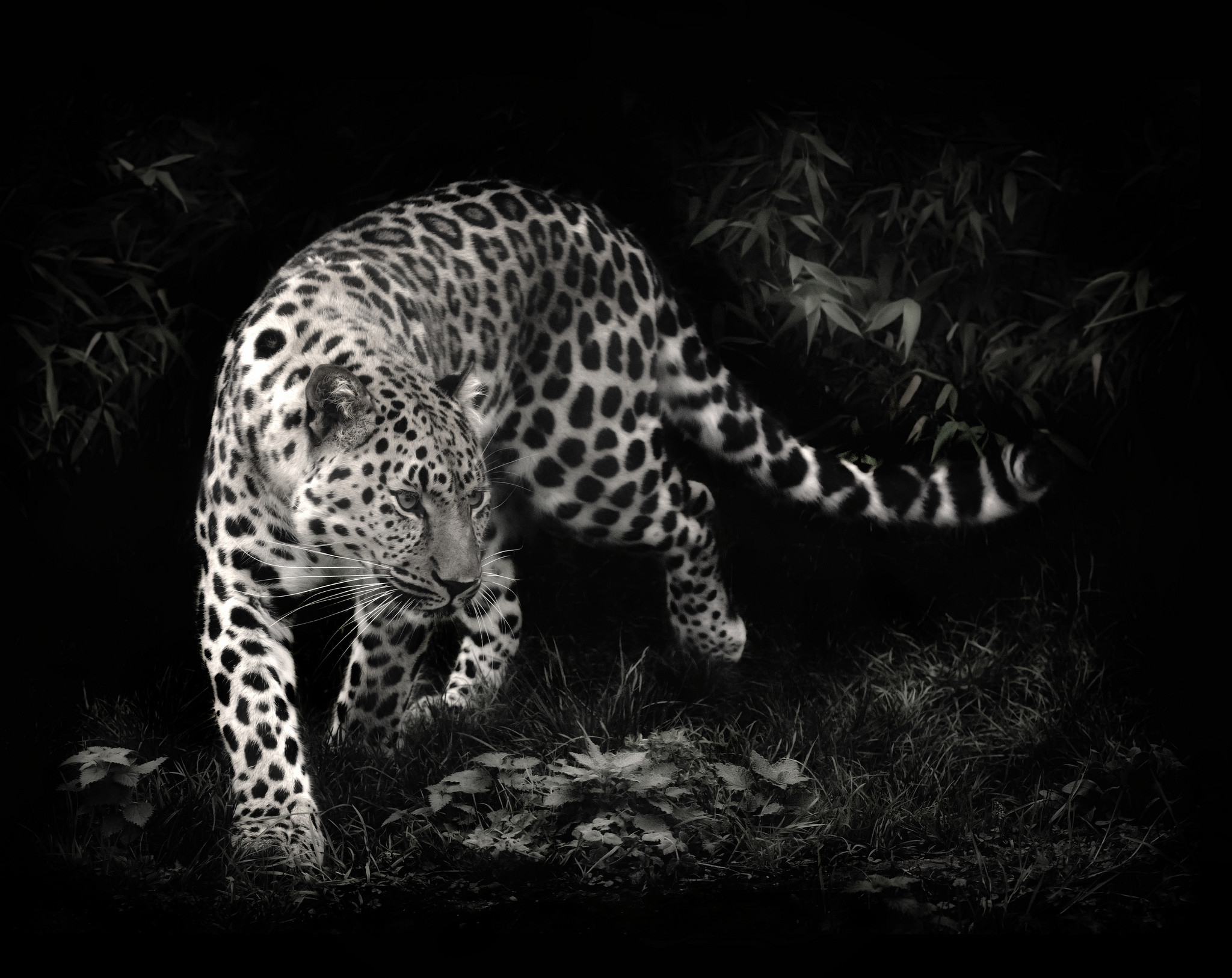 2048x1626 Top Black And White Leopard Wallpaper Hd Wallpapers