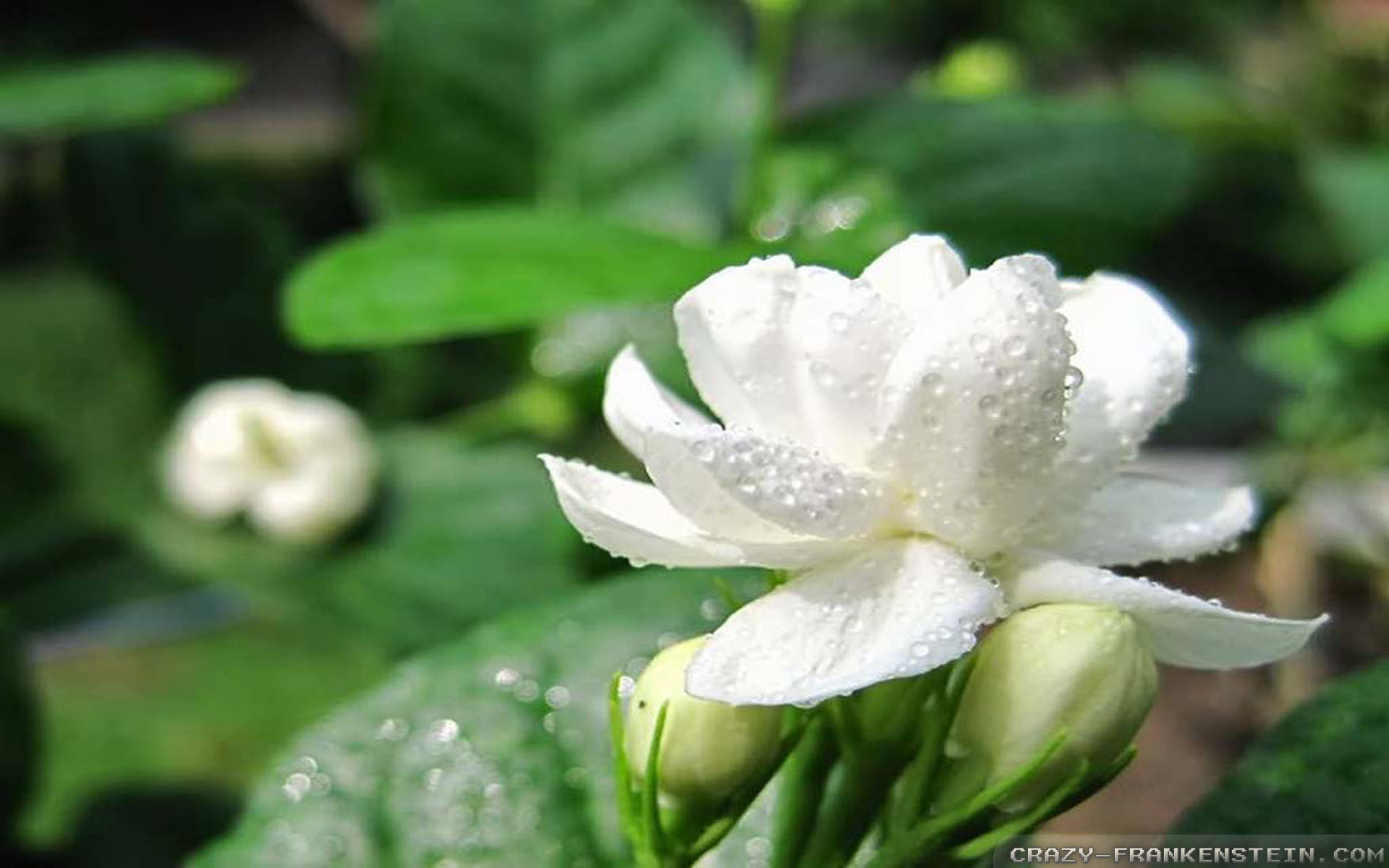 Jasmine Flower Wallpaper