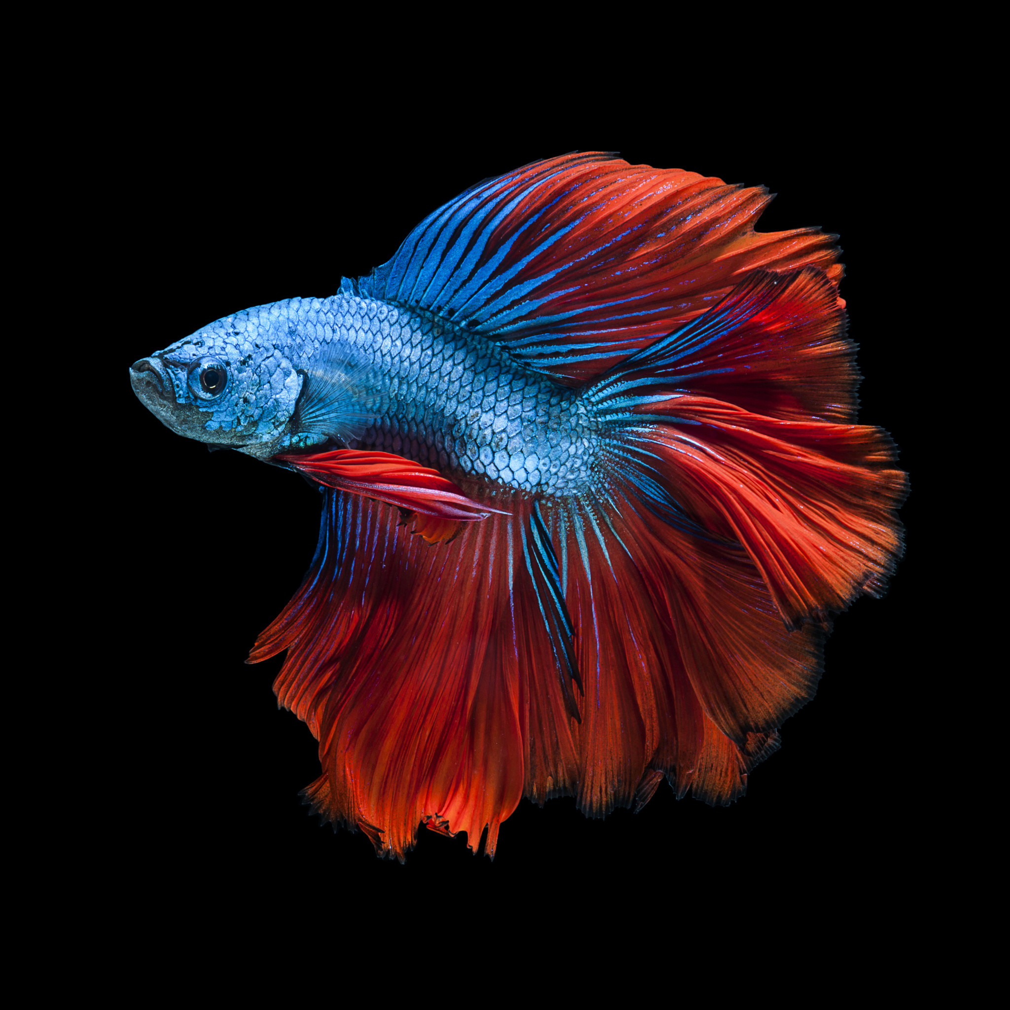 Red fish wallpaper for Betta fish colors
