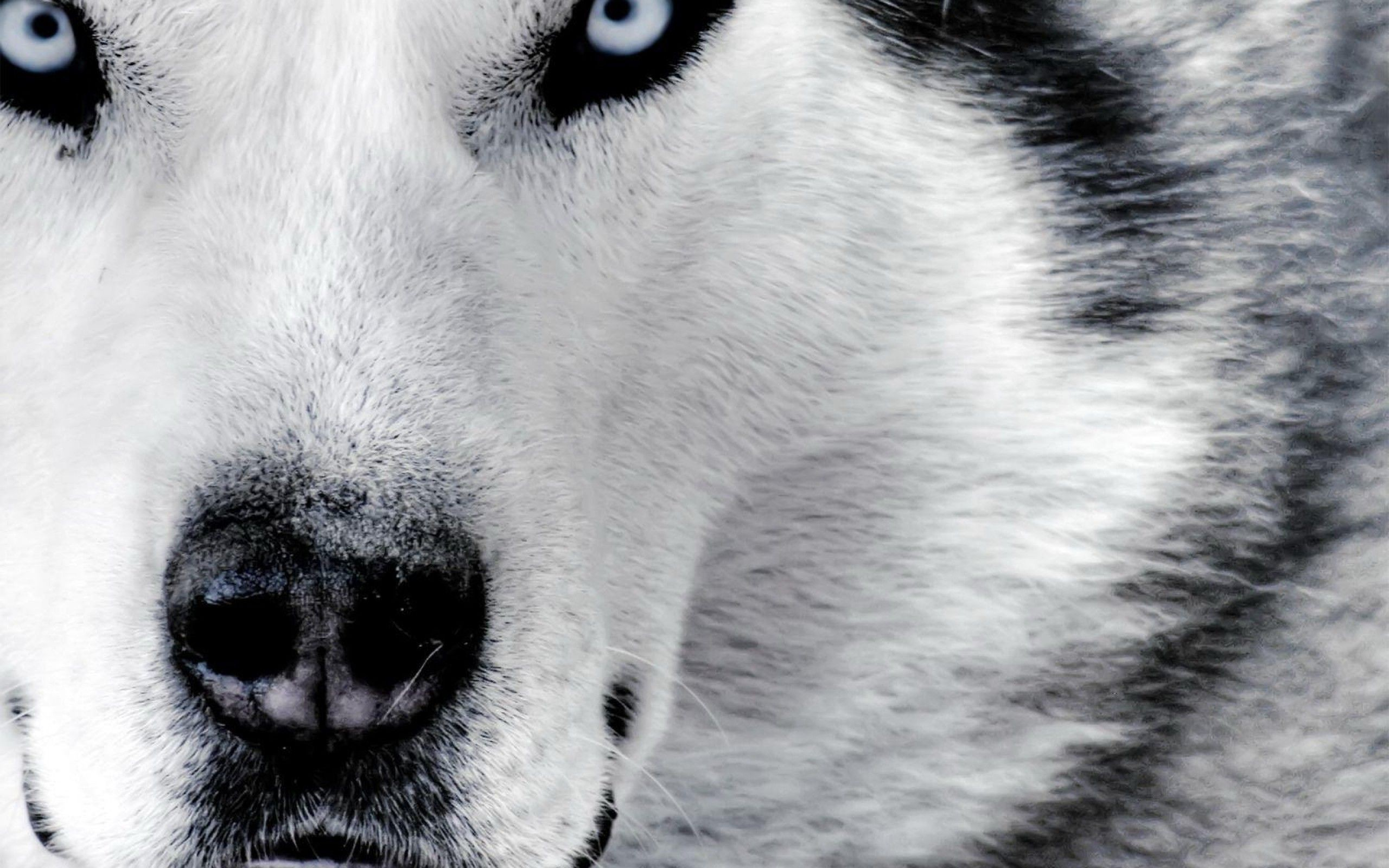 77 Wolf Backgrounds Download Free Stunning Backgrounds