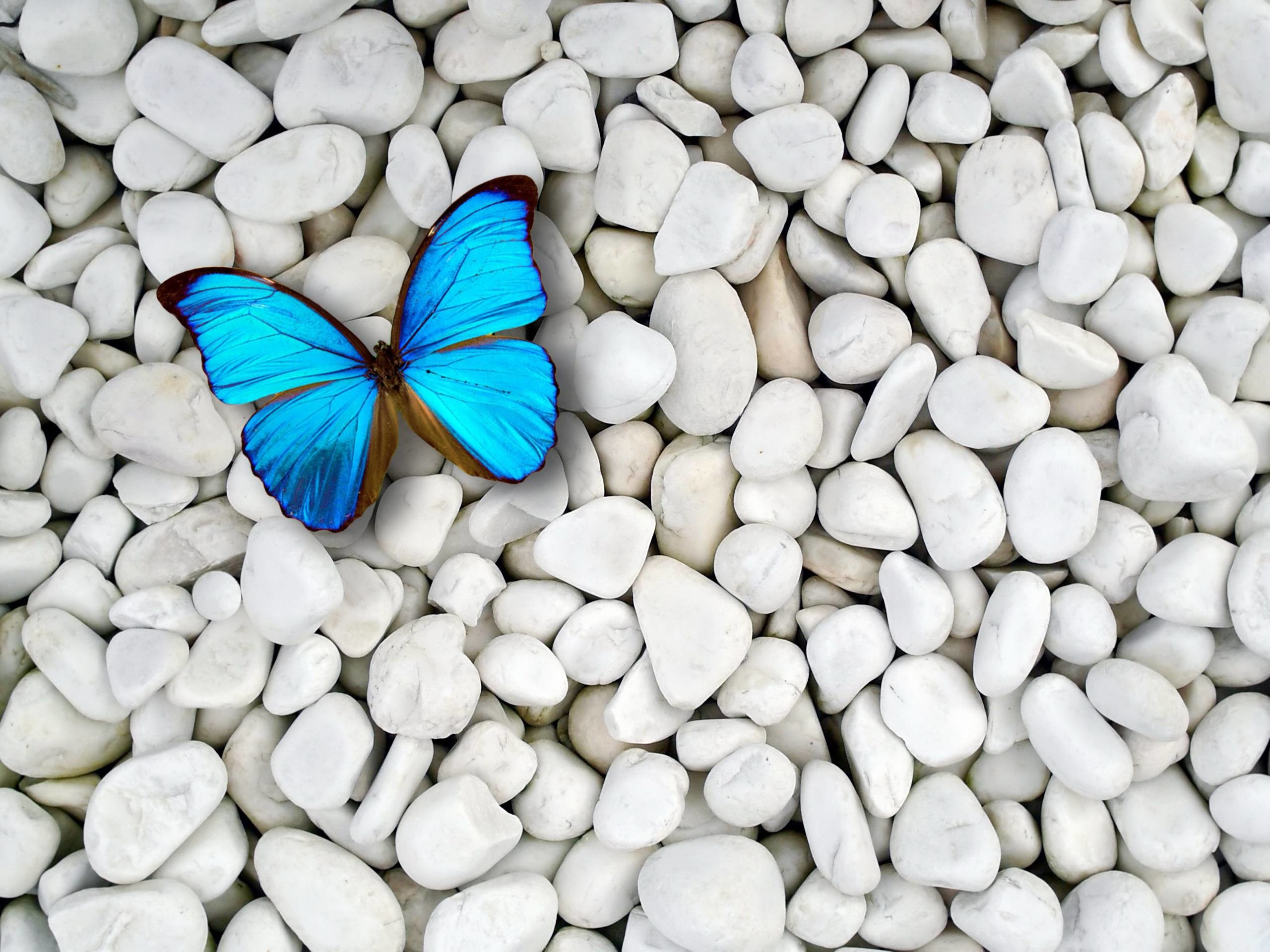Blue Butterfly Wallpaper 1