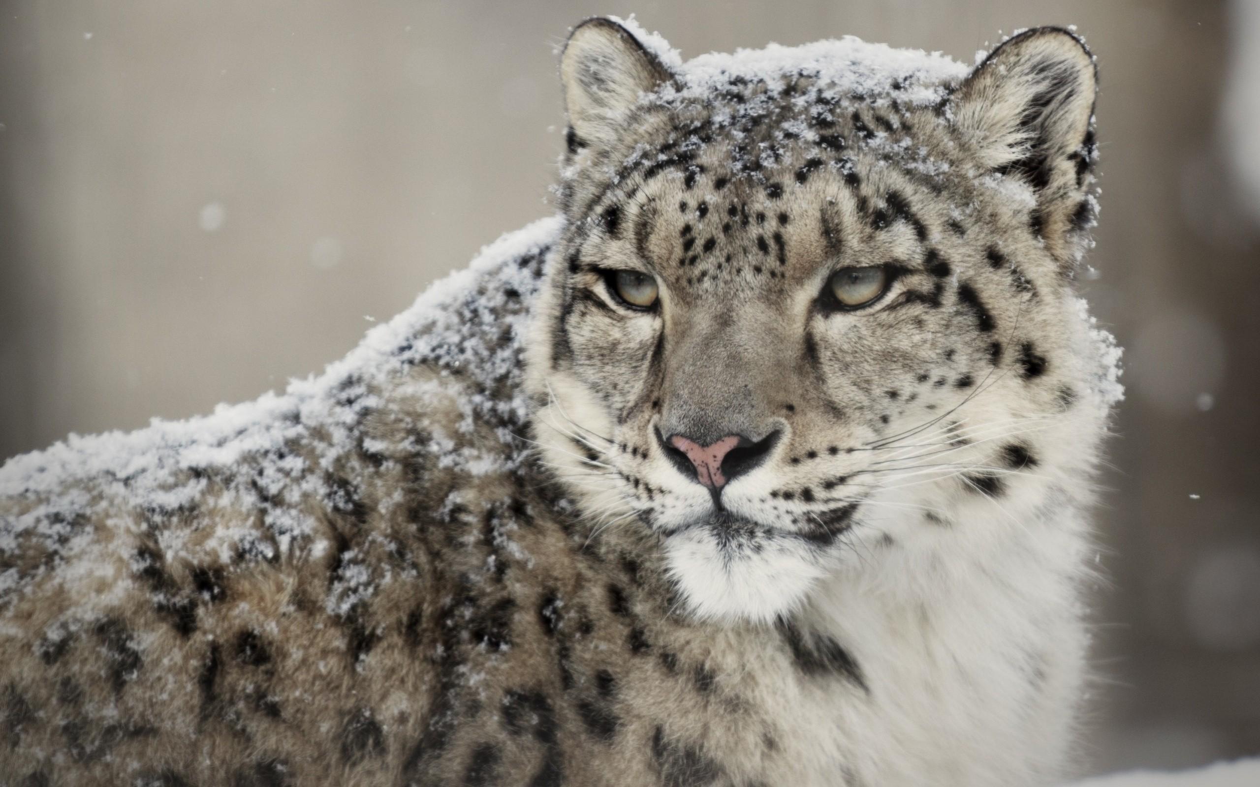 тому раннеосенний белый леопард картинки мельдониевый