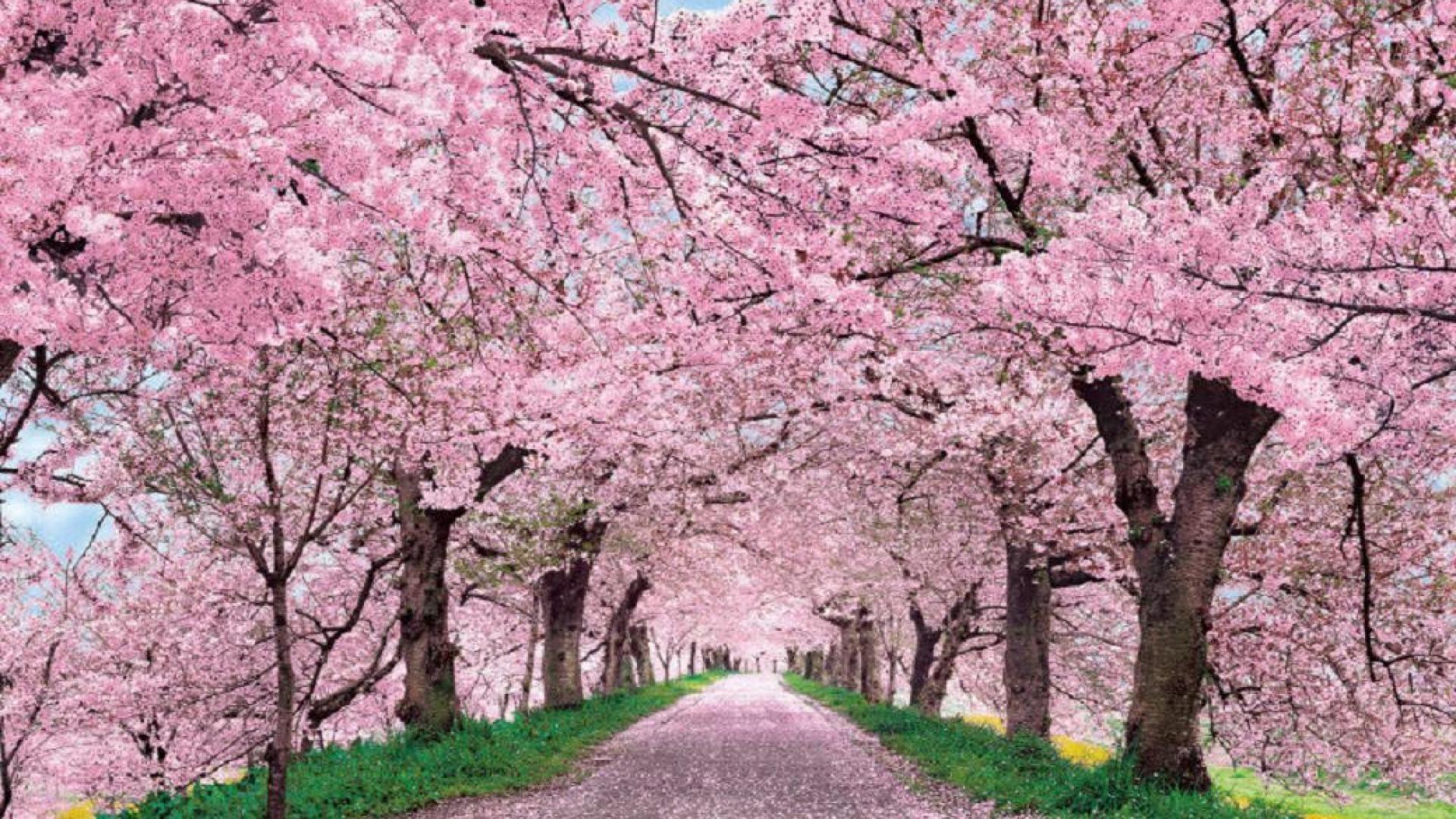 cherry blossom desktop wallpaper wallpapertag. Black Bedroom Furniture Sets. Home Design Ideas