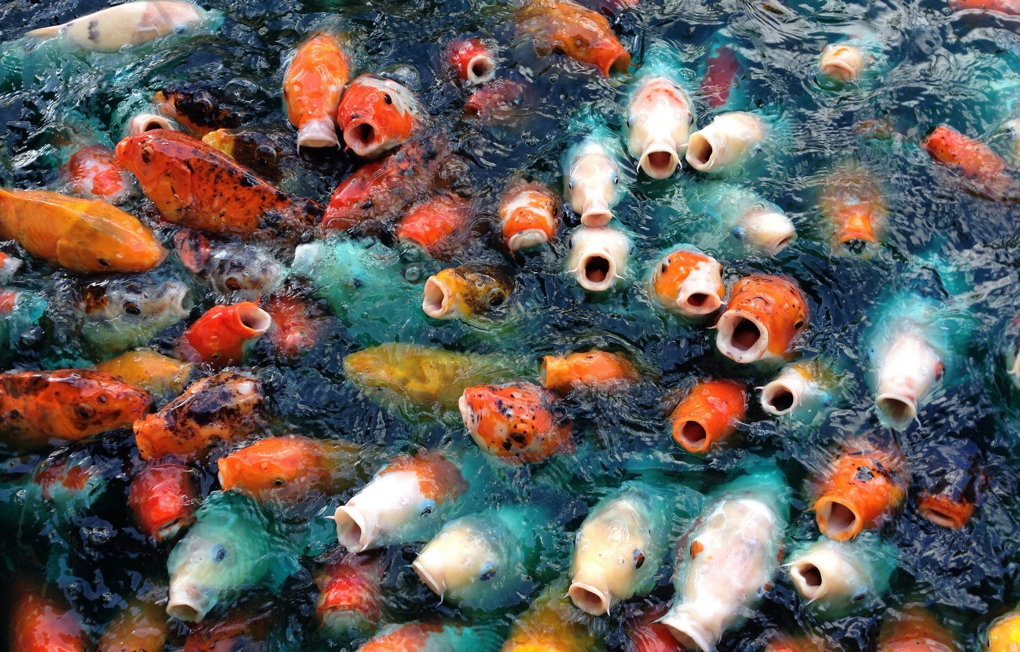 Koi fish background wallpapertag - Carp wallpaper iphone ...