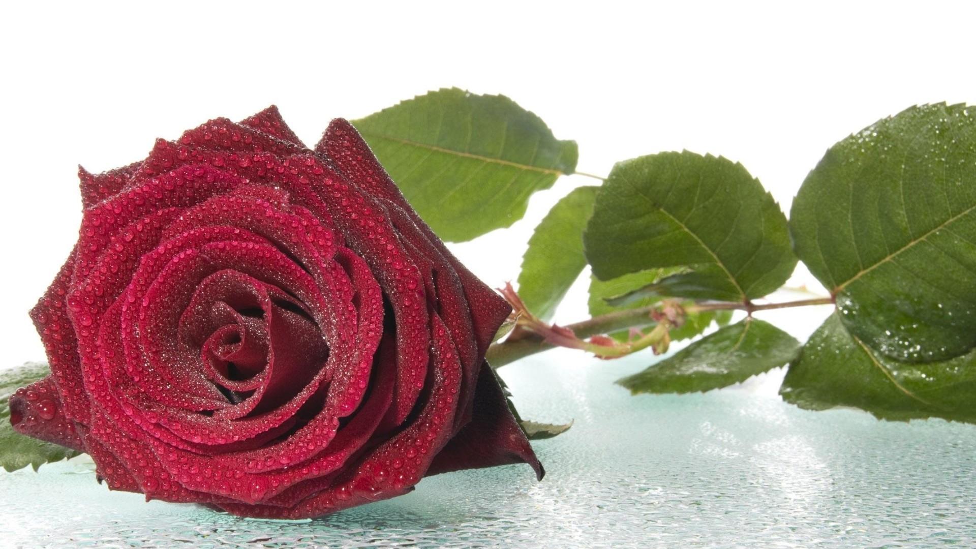 roses wallpaper for desktop 183��