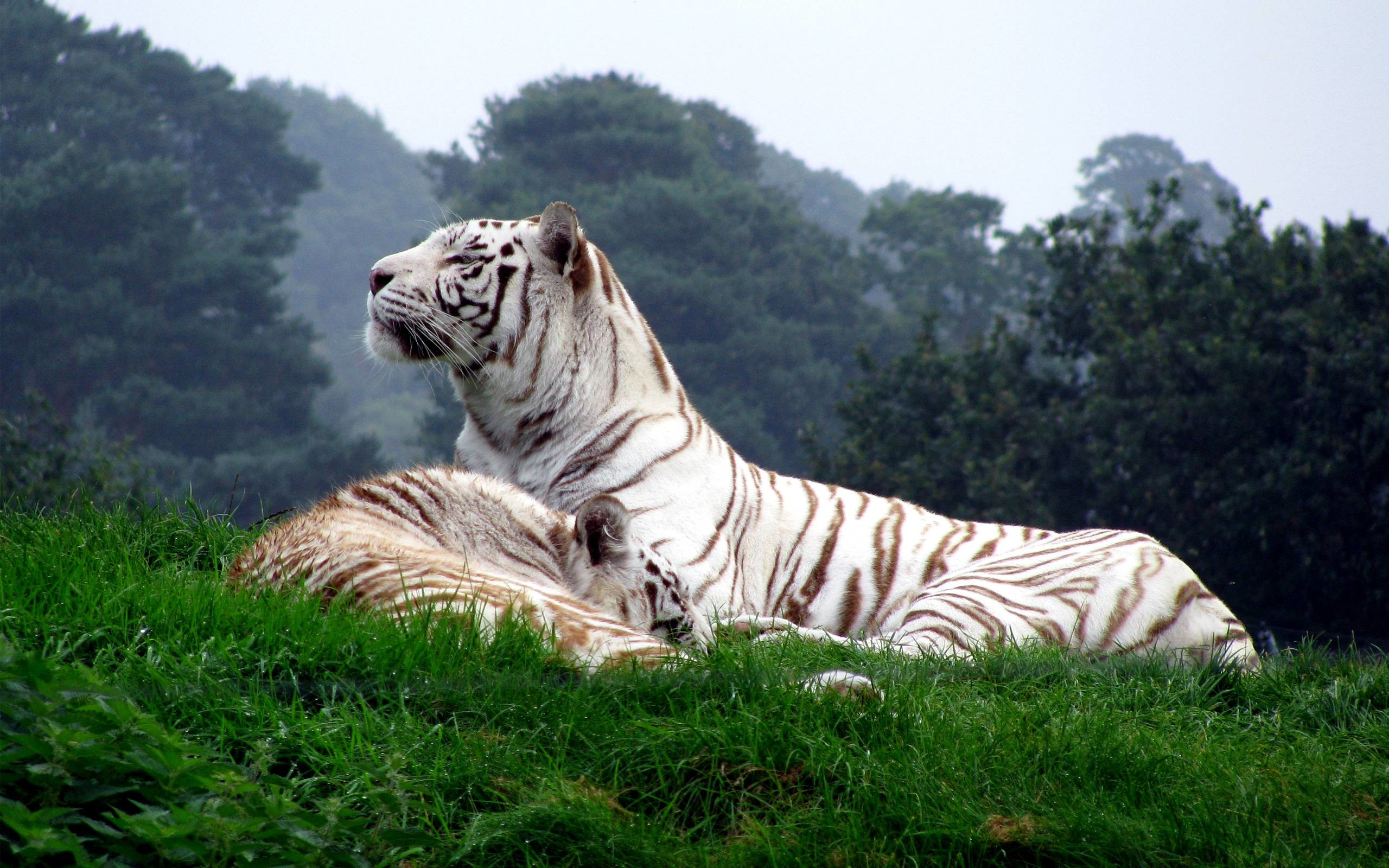 2560x1600 White Tigers Wallpapers Full Hd Wallpaper Search