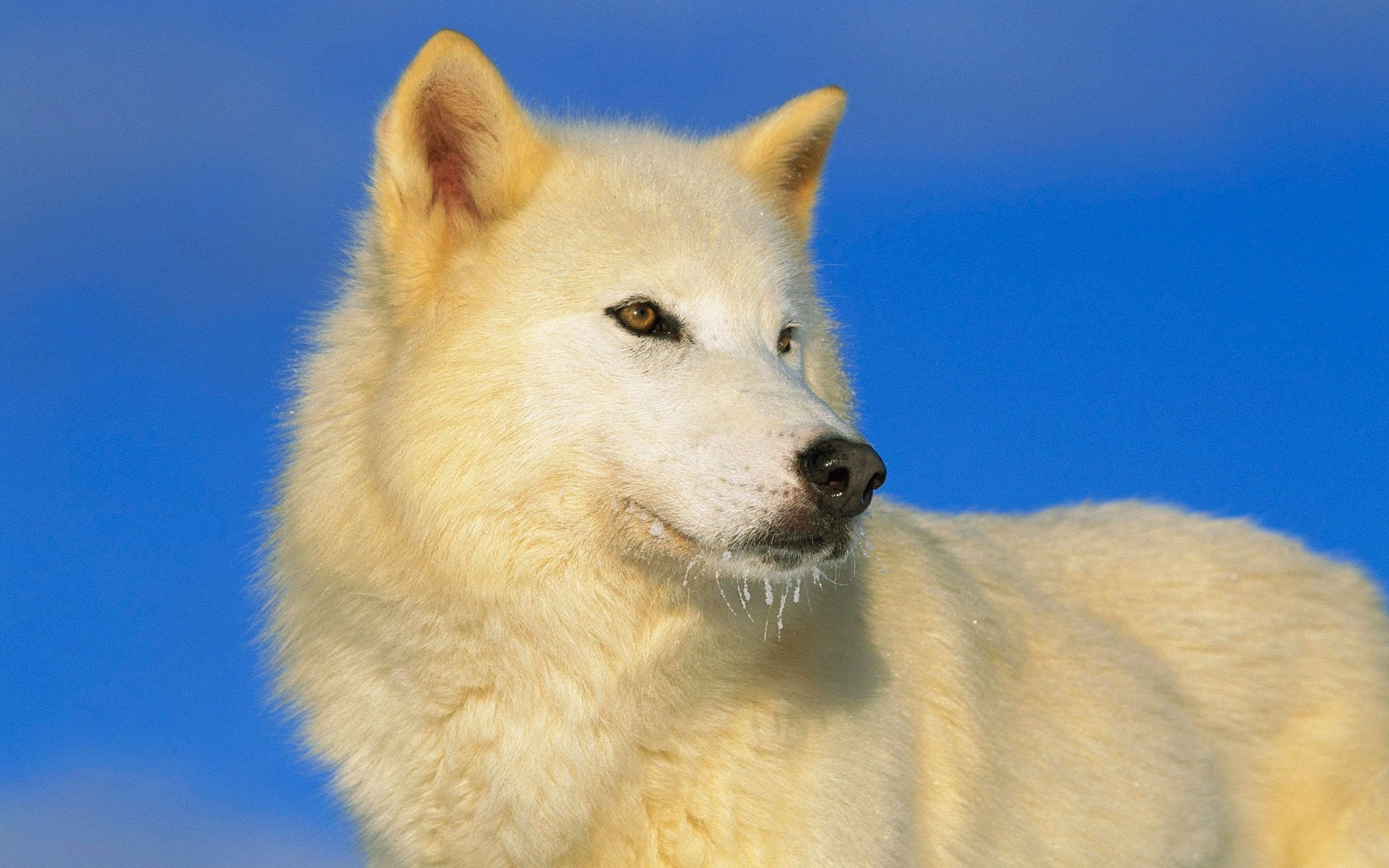 Arctic Wolf Wallpaper Wallpapertag
