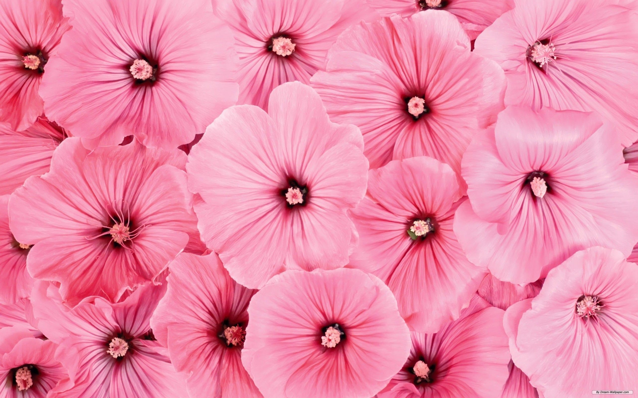 Pink flowers background 2560x1600 awesome pink flower image download purple animated flowers and pink background mightylinksfo