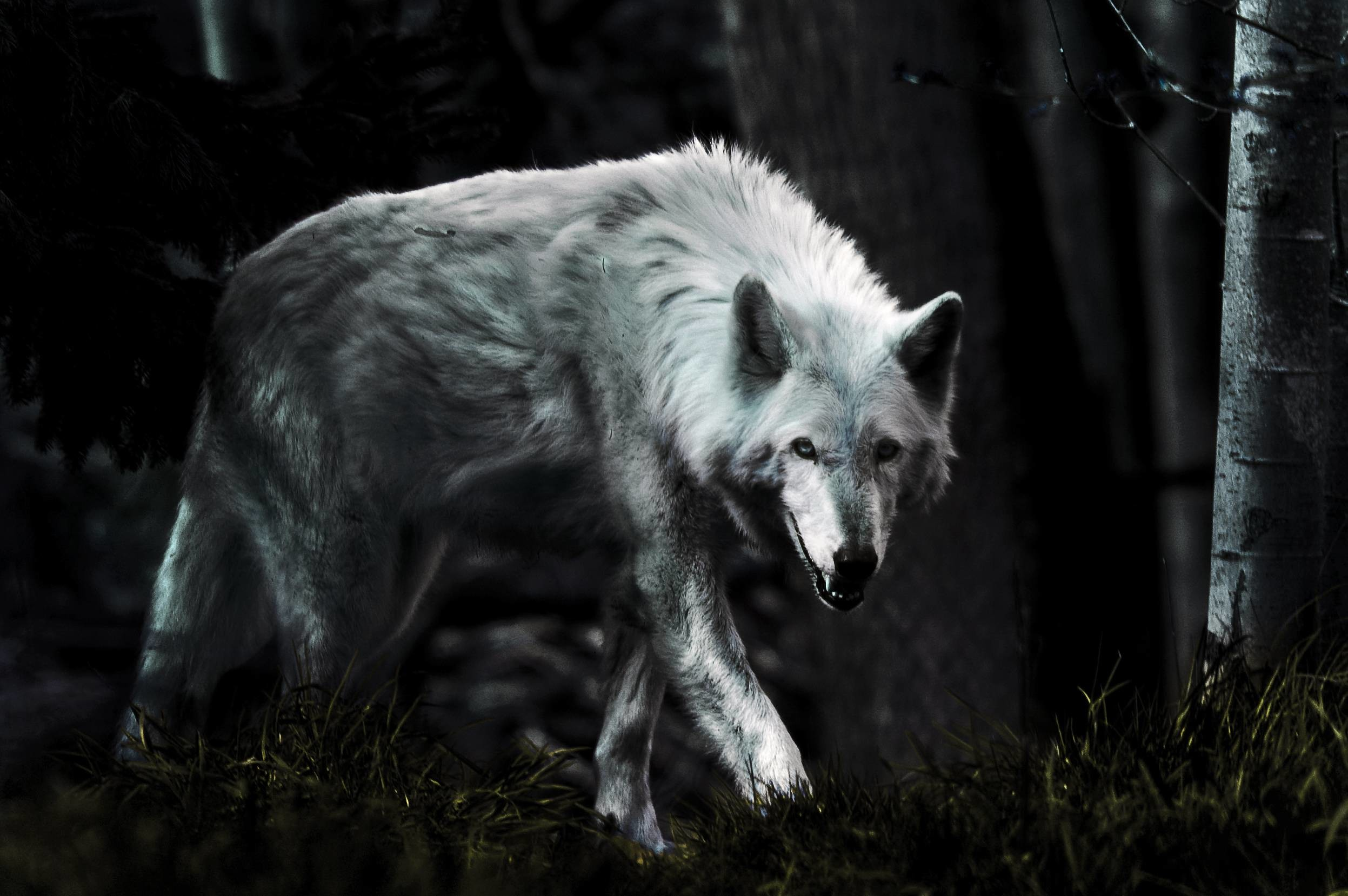 Dark Wolf Wallpaper ·① WallpaperTag