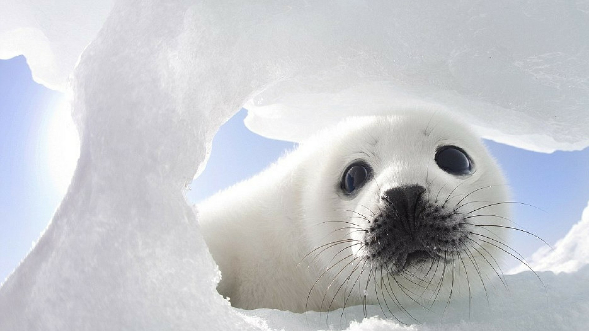 The mature harp seal has pure black eyes It has a silvergray fur covering its body with black harp or wishboneshaped markings dorsally Adult harp seals grow to