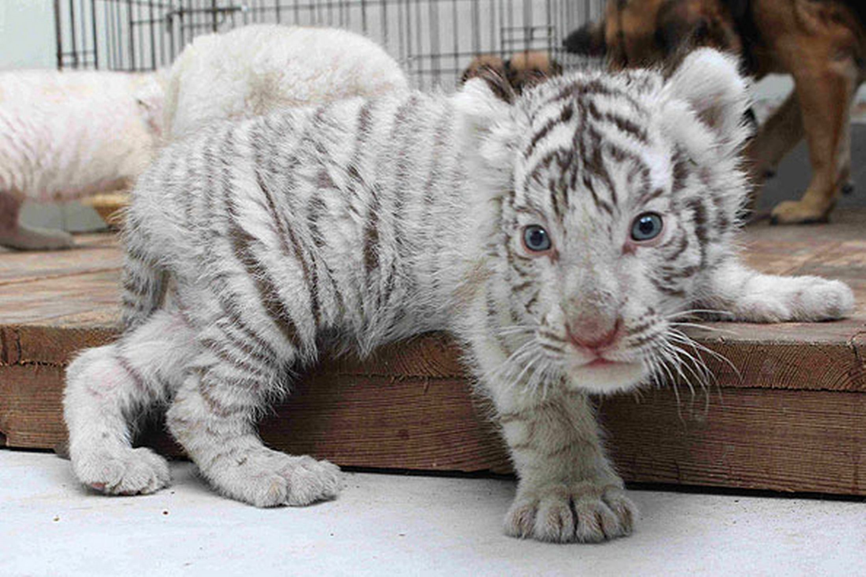 baby white tiger - HD2197×1463