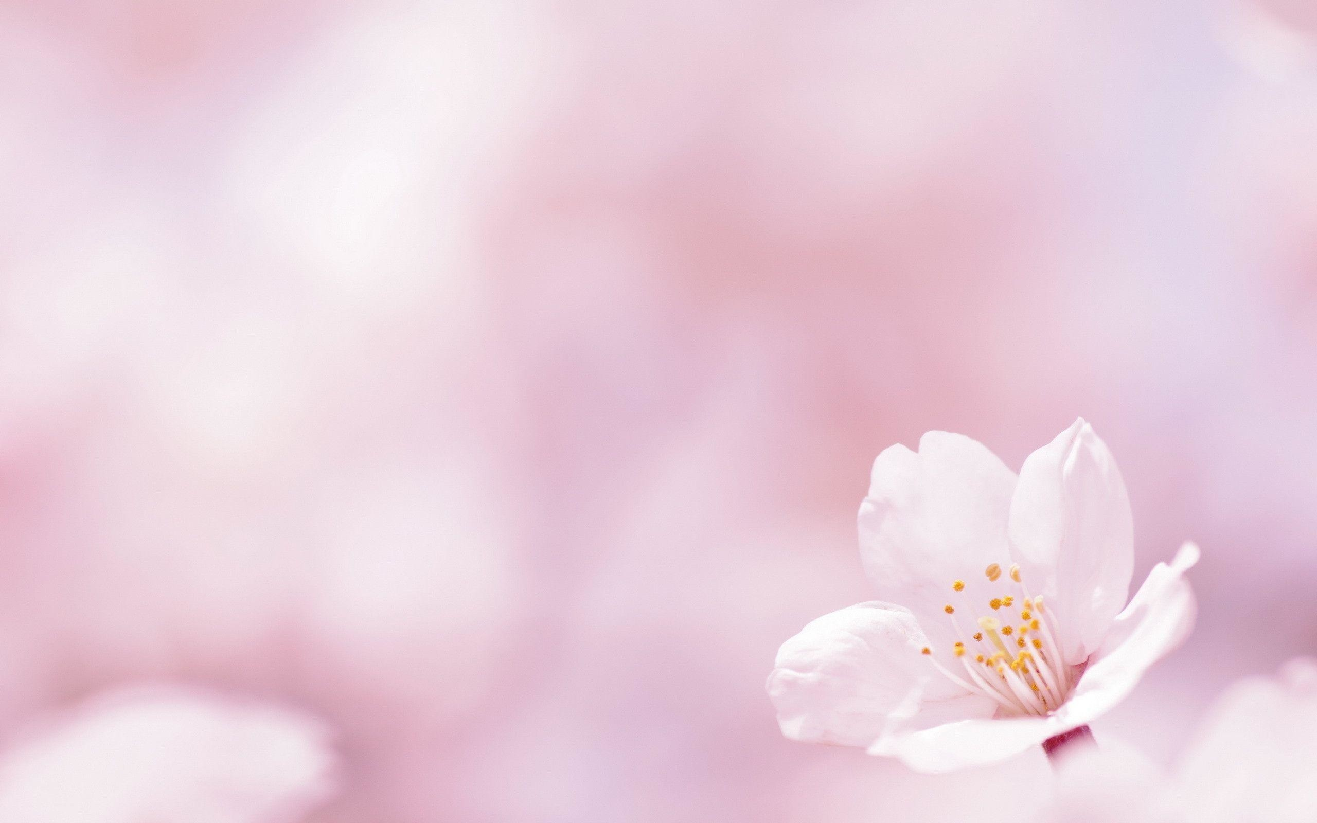Spring Flower Wallpaper Backgrounds