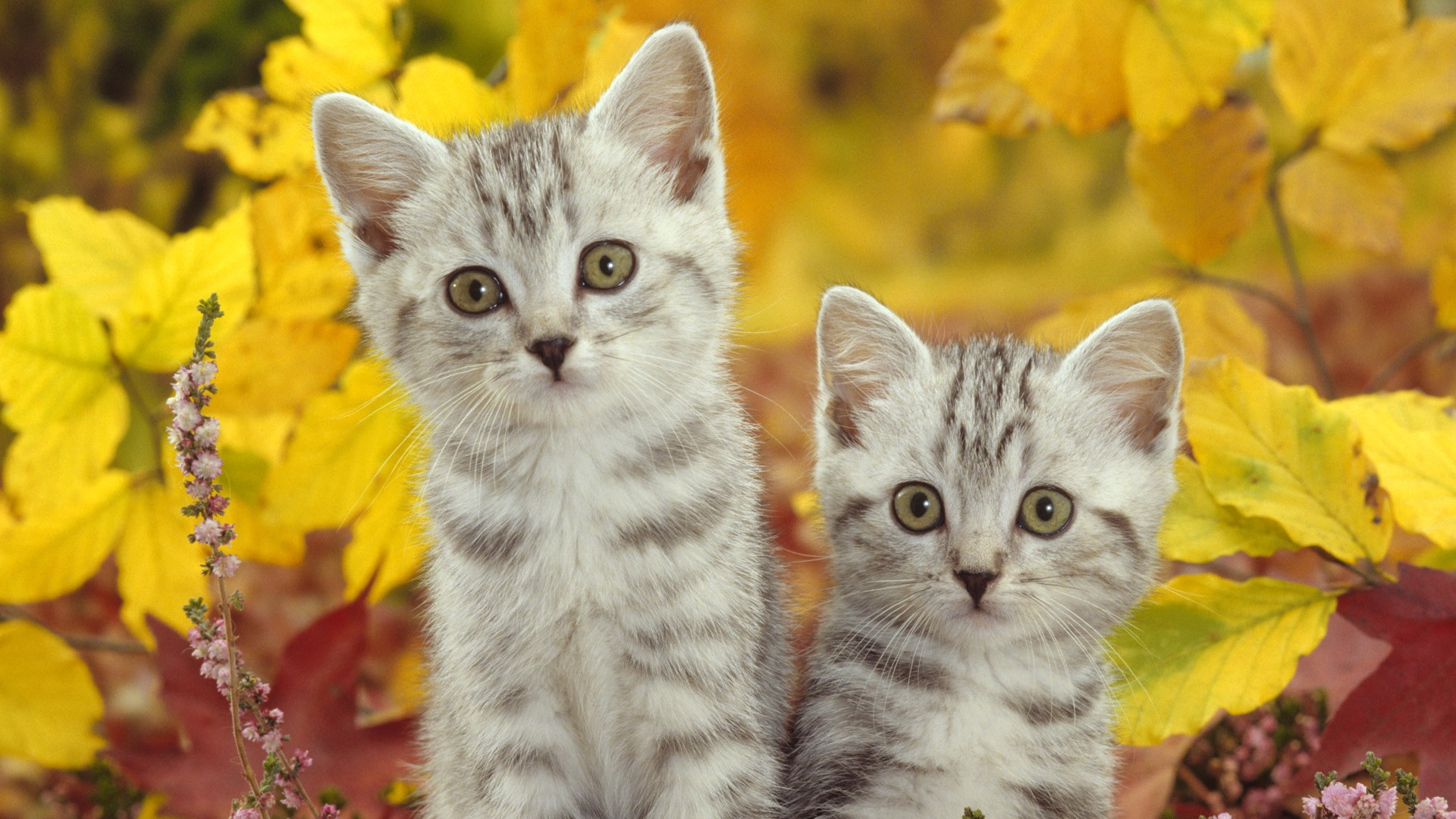 Cats wallpaper download free hd wallpapers of cats for - Kitten wallpaper hd ...