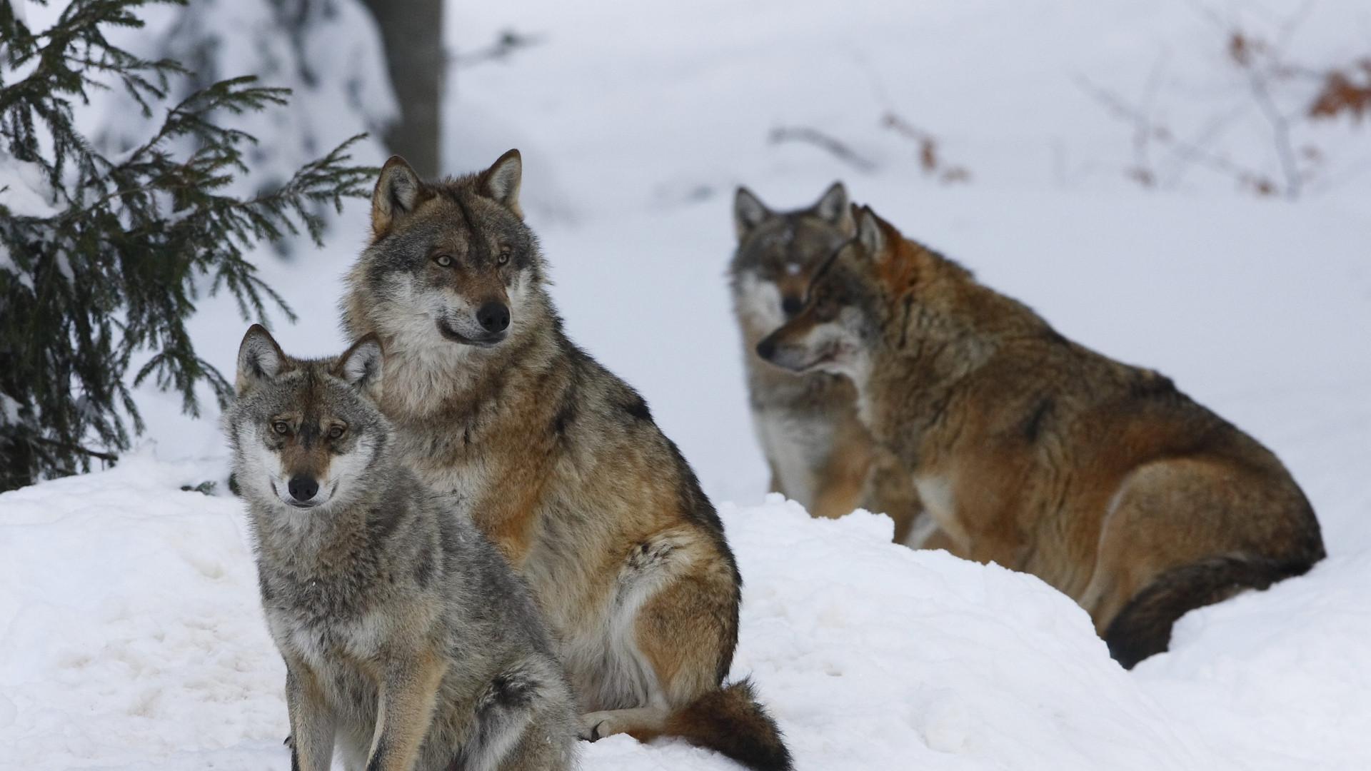 wolf pack wallpaper 183��