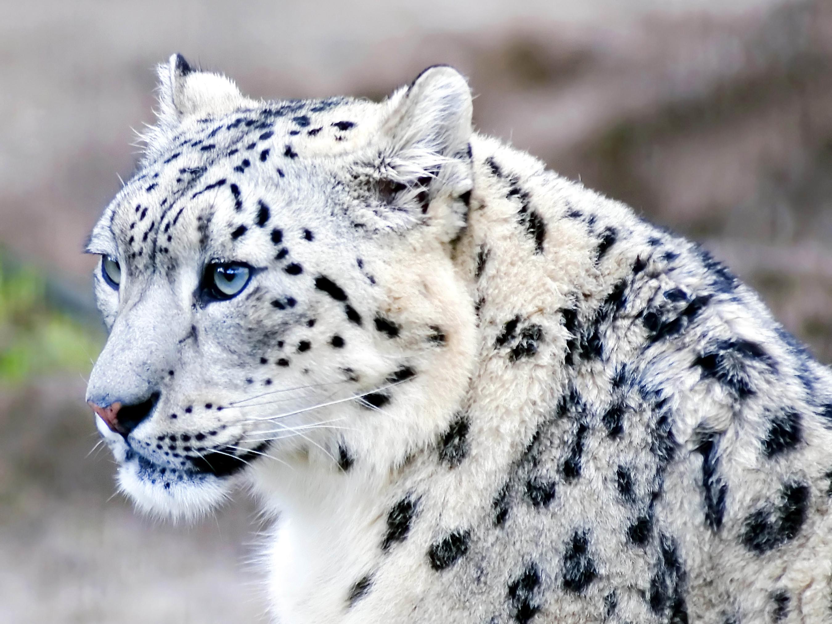 белый леопард картинки горячие