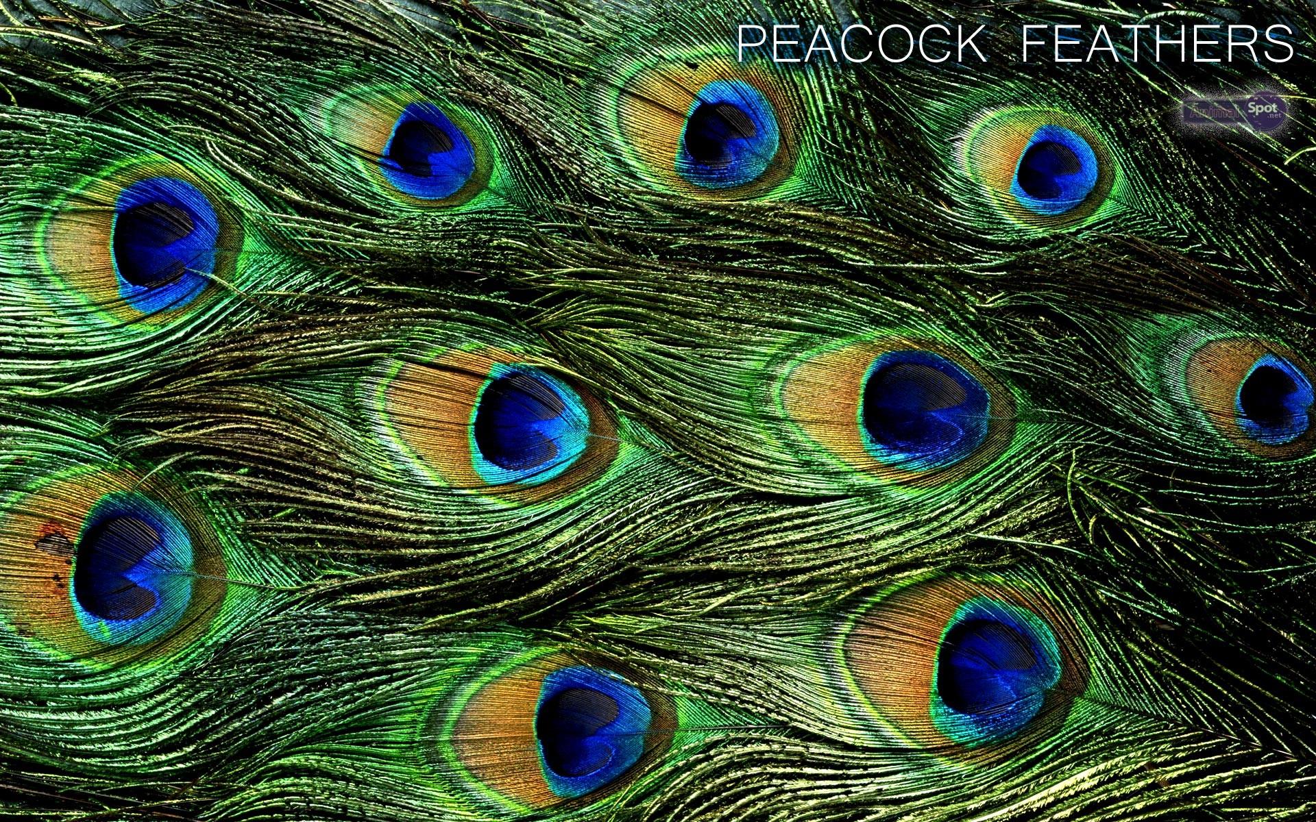 Peacock Bird Feathers Wallpaper 2