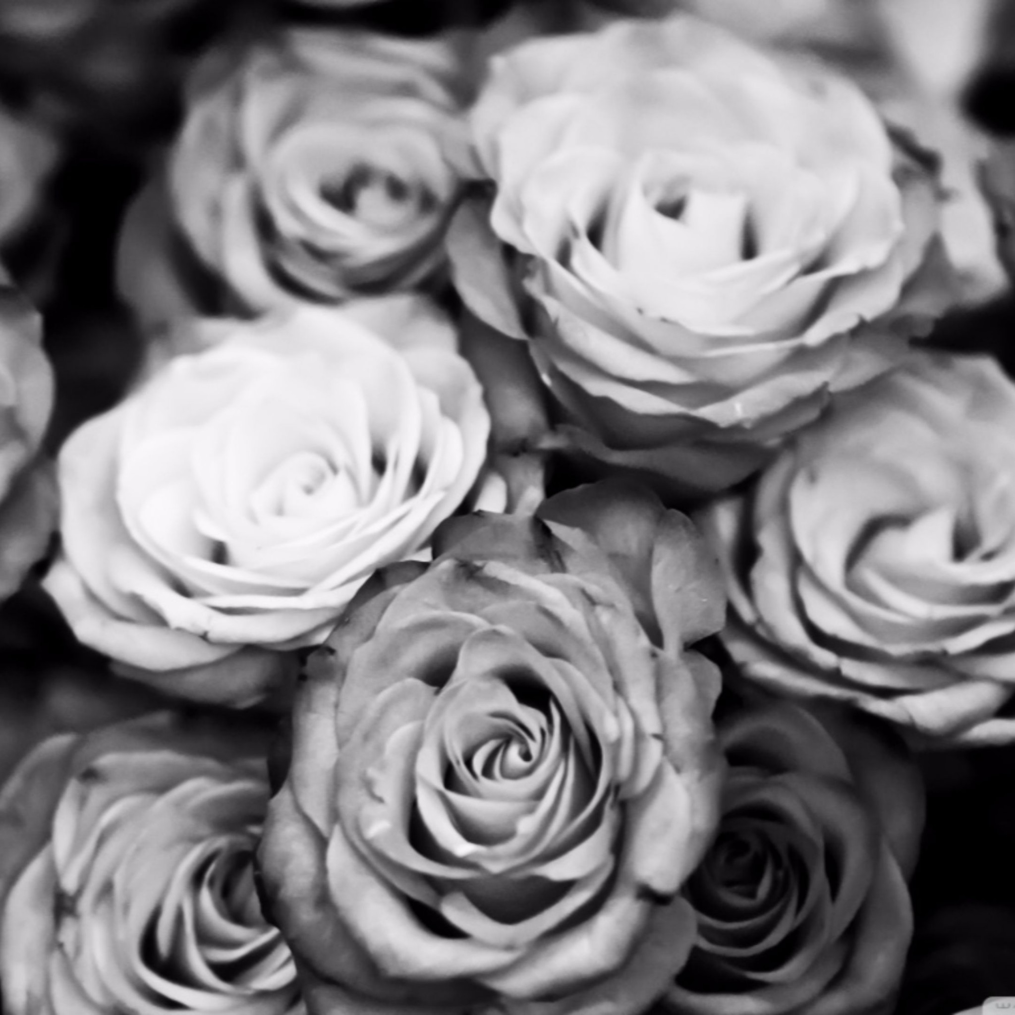 Black And White Flowers Wallpapers Hd: Black And White Rose Wallpaper ·① WallpaperTag