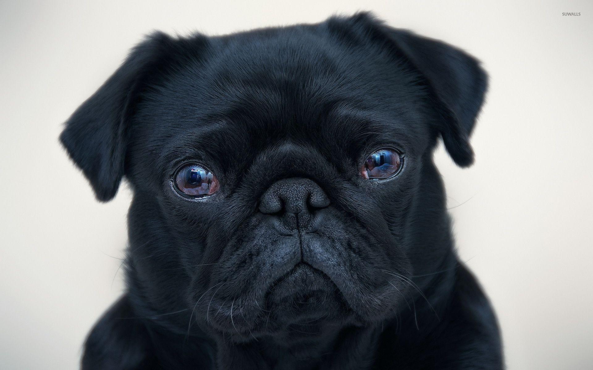 Black Pug Wallpaper ·① WallpaperTag