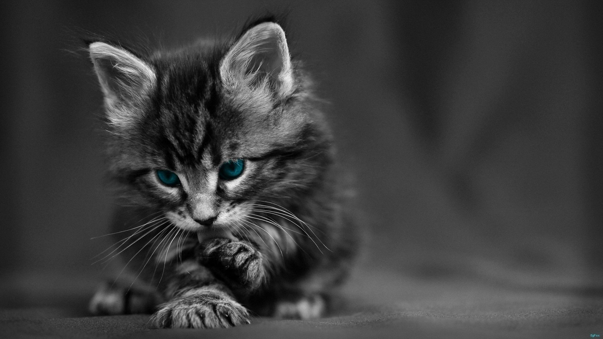 1920x1080 Wallpaper HD 1080p Black And White Cat - Tuffboys.com