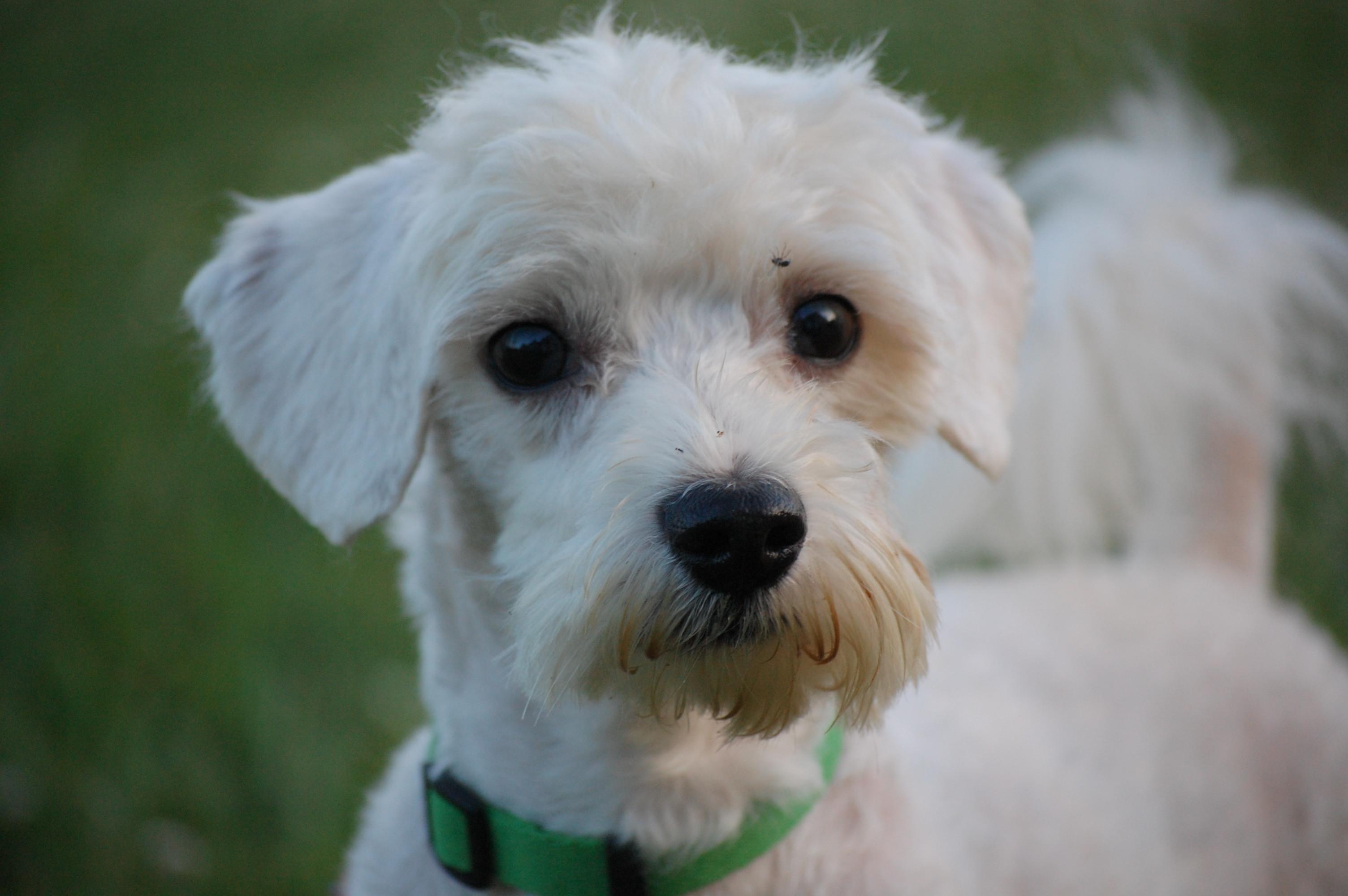 Miniature Maltese Dogs For Sale