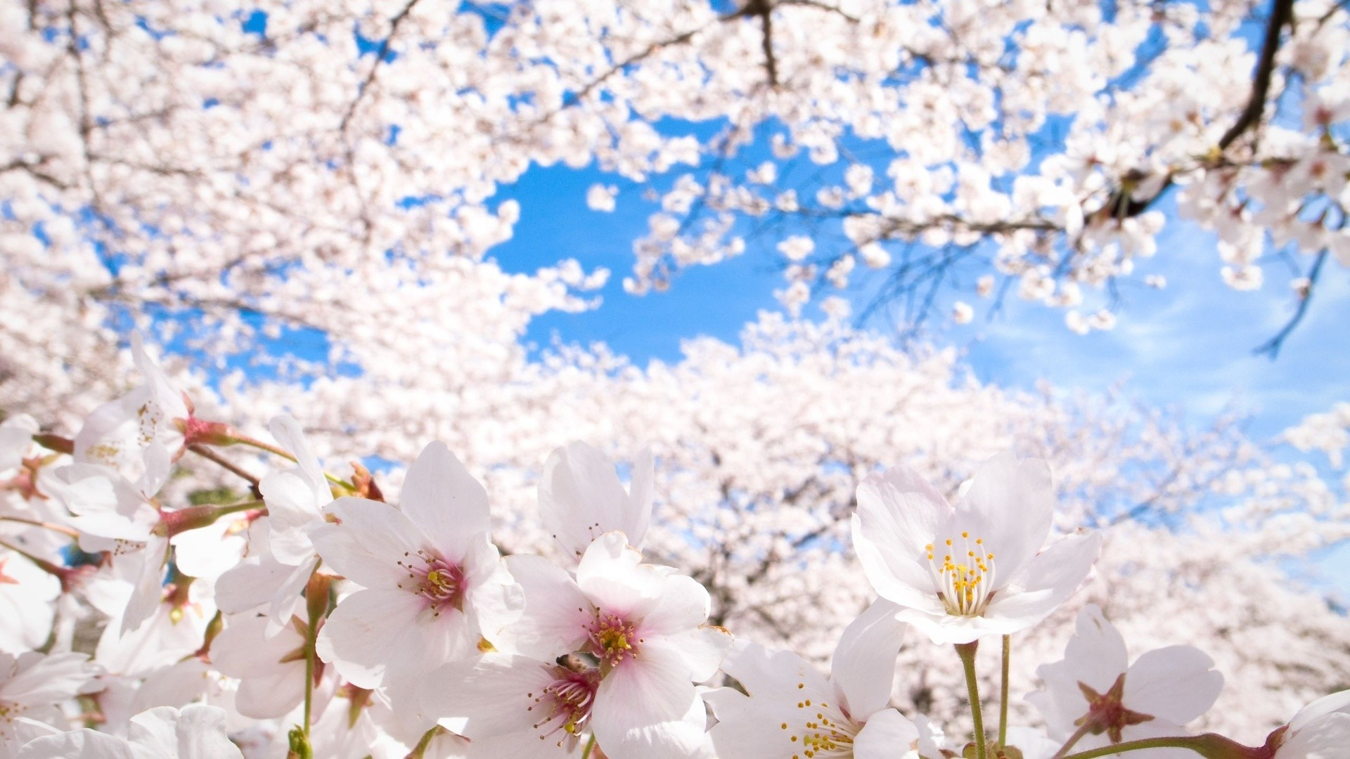 Sakura Wallpaper Download Free Stunning Wallpapers For Desktop