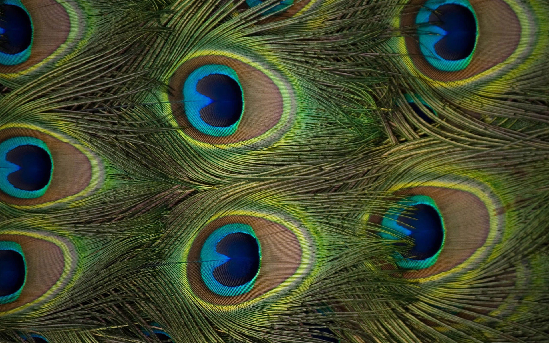 Wallpapers of Peacock Feathers HD ·① WallpaperTag