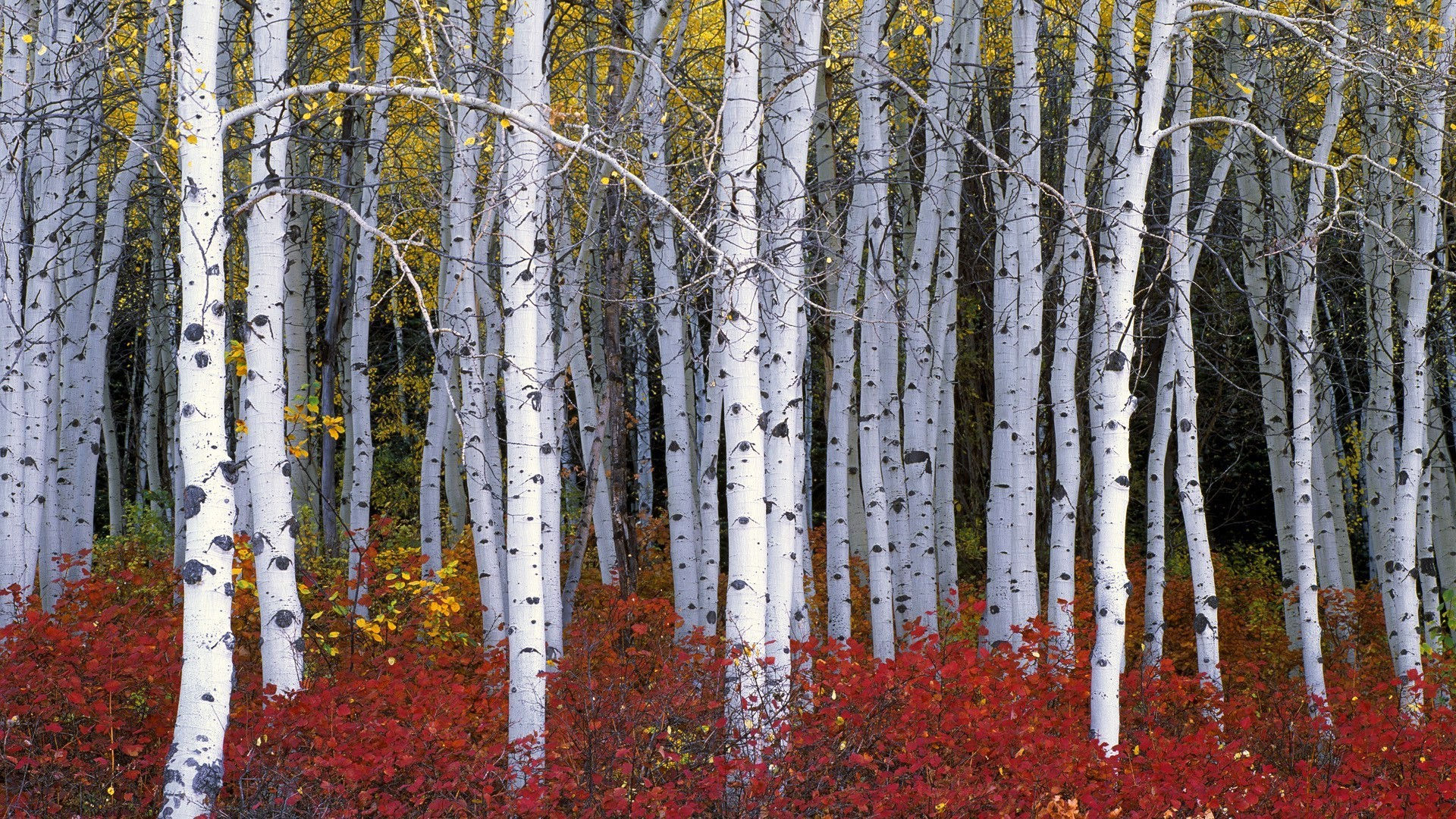 Birch Tree wallpaper ·① Download free awesome HD ...