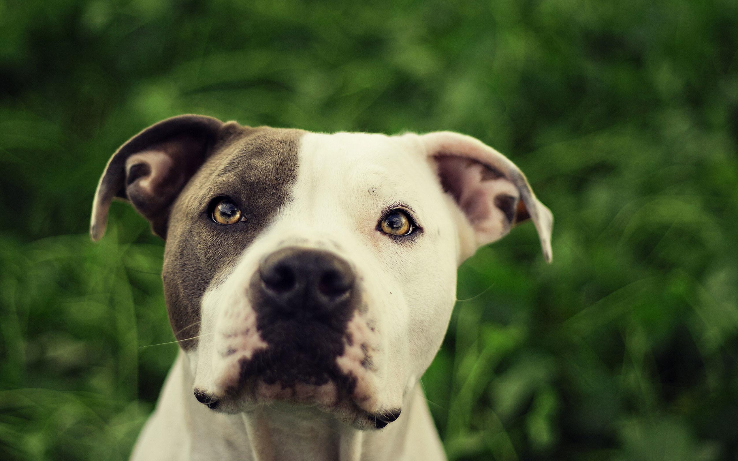Pitbull Dog Wallpaper ·①