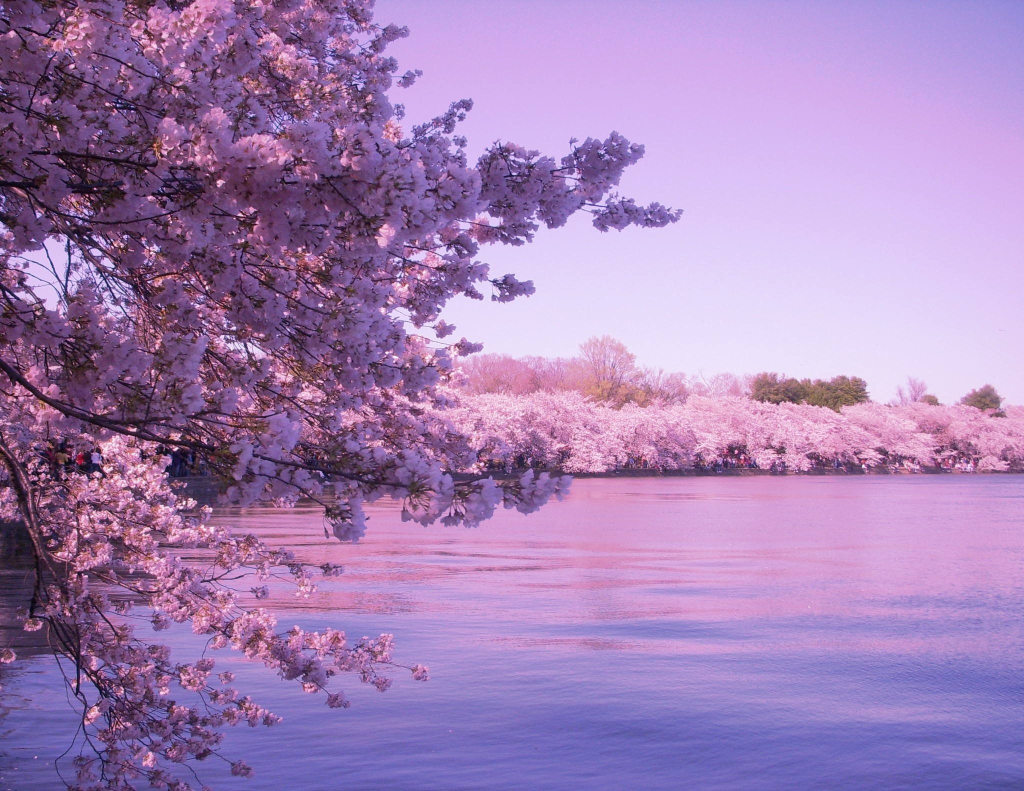Cherry blossom background wallpapertag - Sakura desktop ...