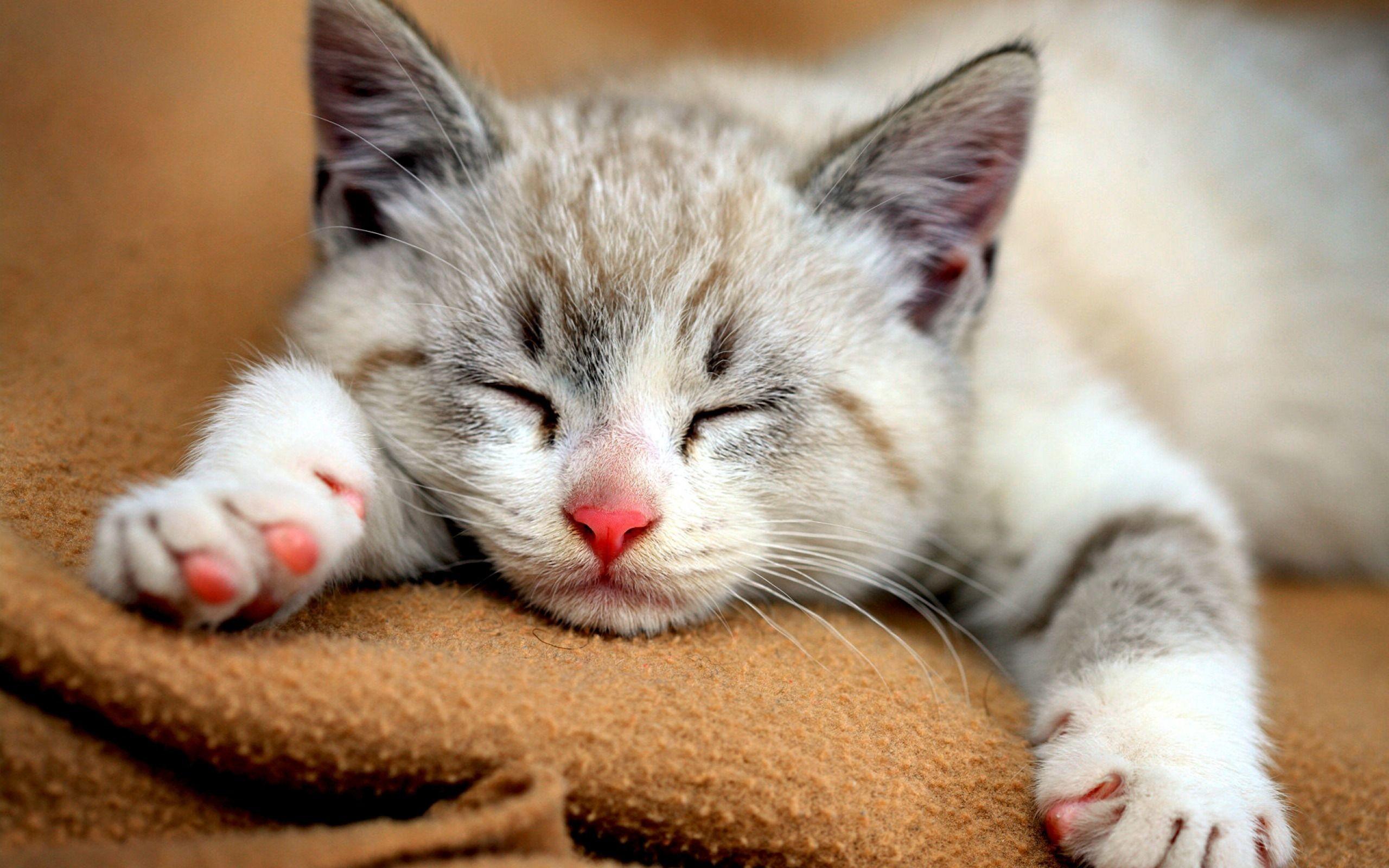 Cute kitten photo gallery Rosecoloured Ragdolls - Available Kittens