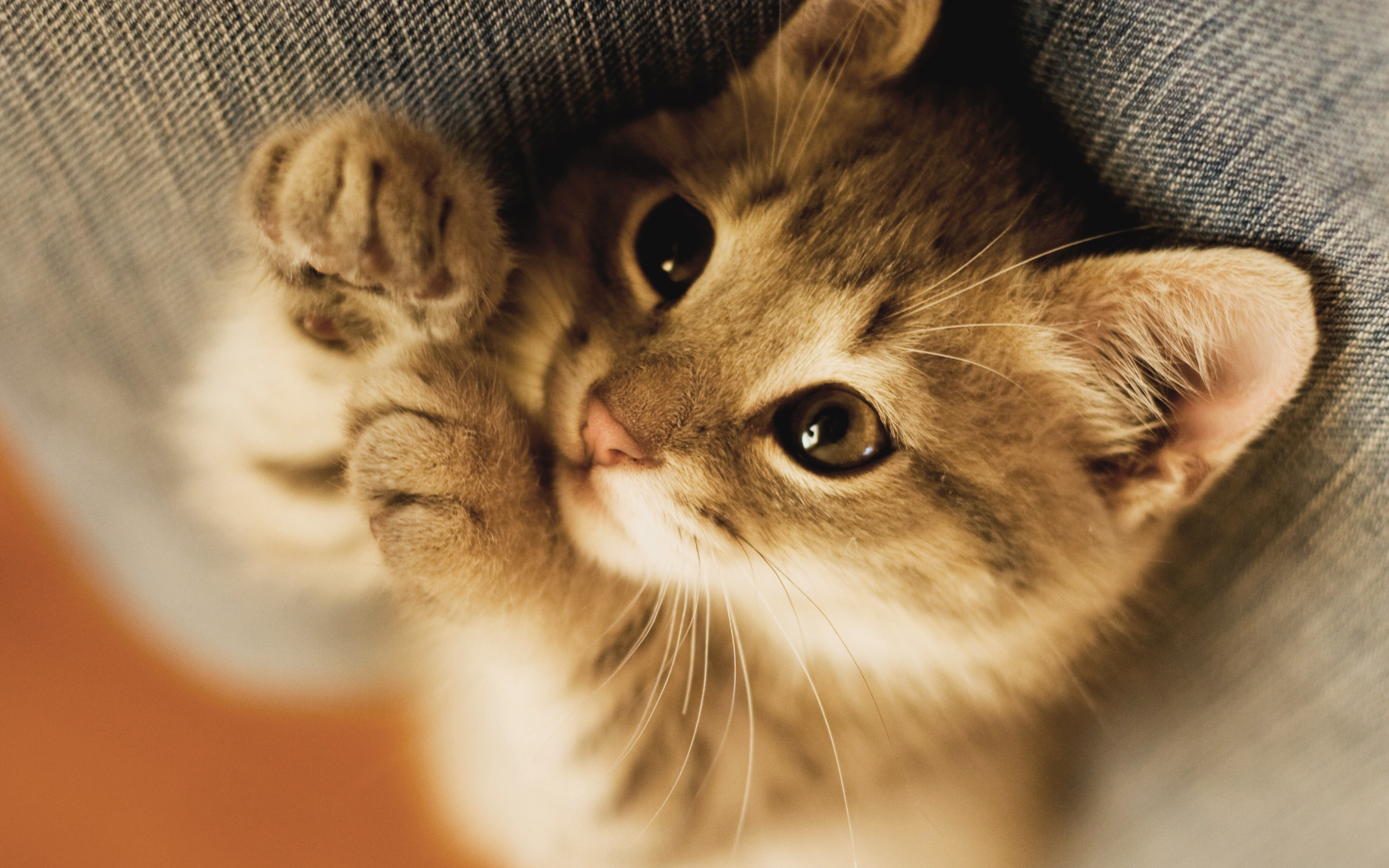 Baby Kitten Wallpaper 1