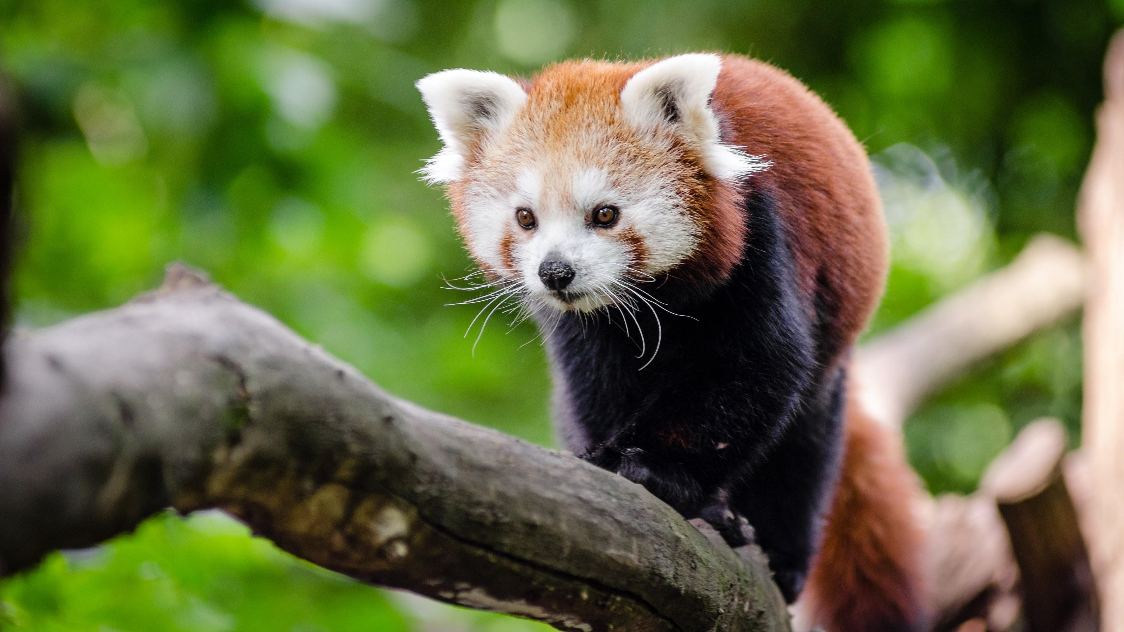 Red Panda  № 1564056 без смс
